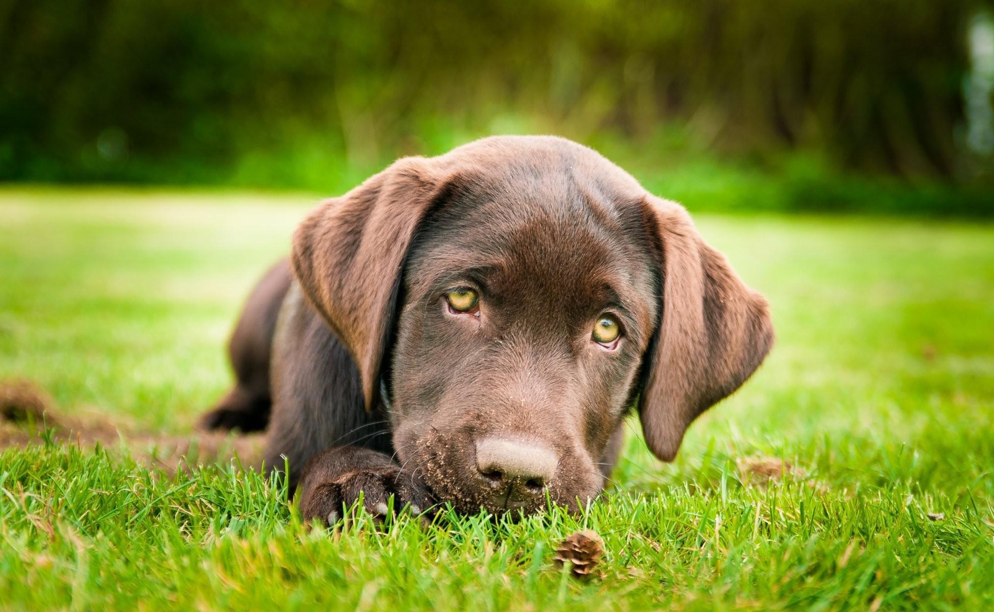 dog puppy labrador retriever brown grass foot