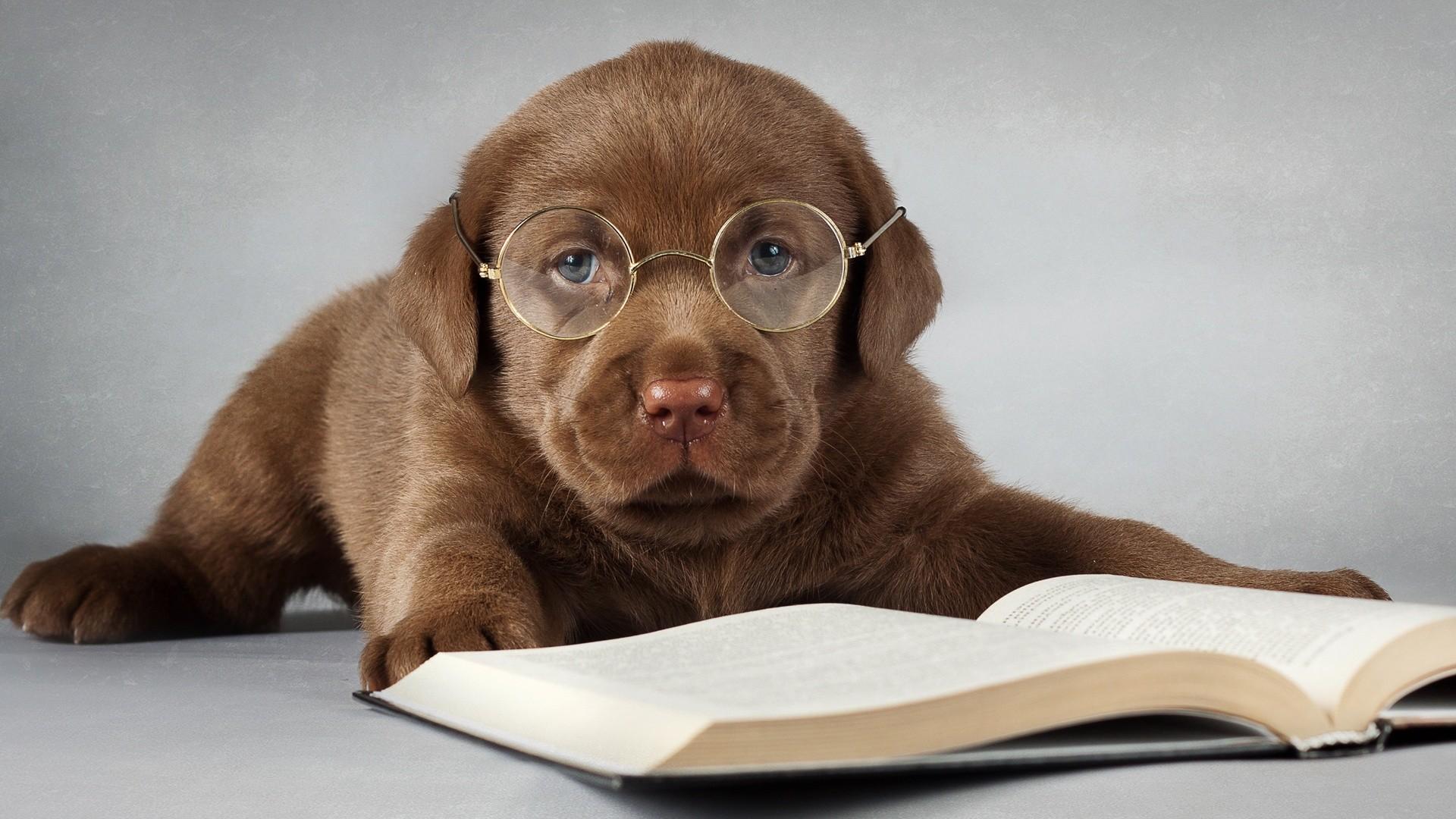 Labrador dog brown read a book glasses Wallpaper, Desktop Wallpapers .