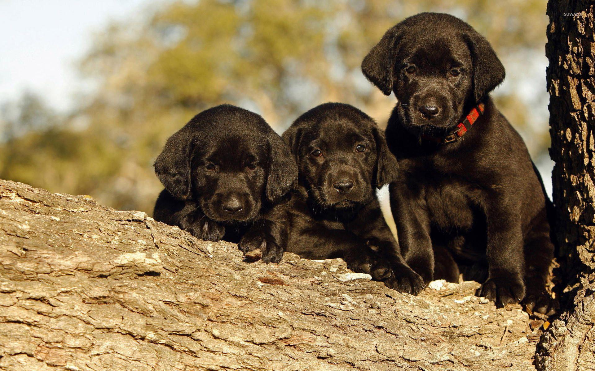 Black Labrador puppies in a tree wallpaper jpg
