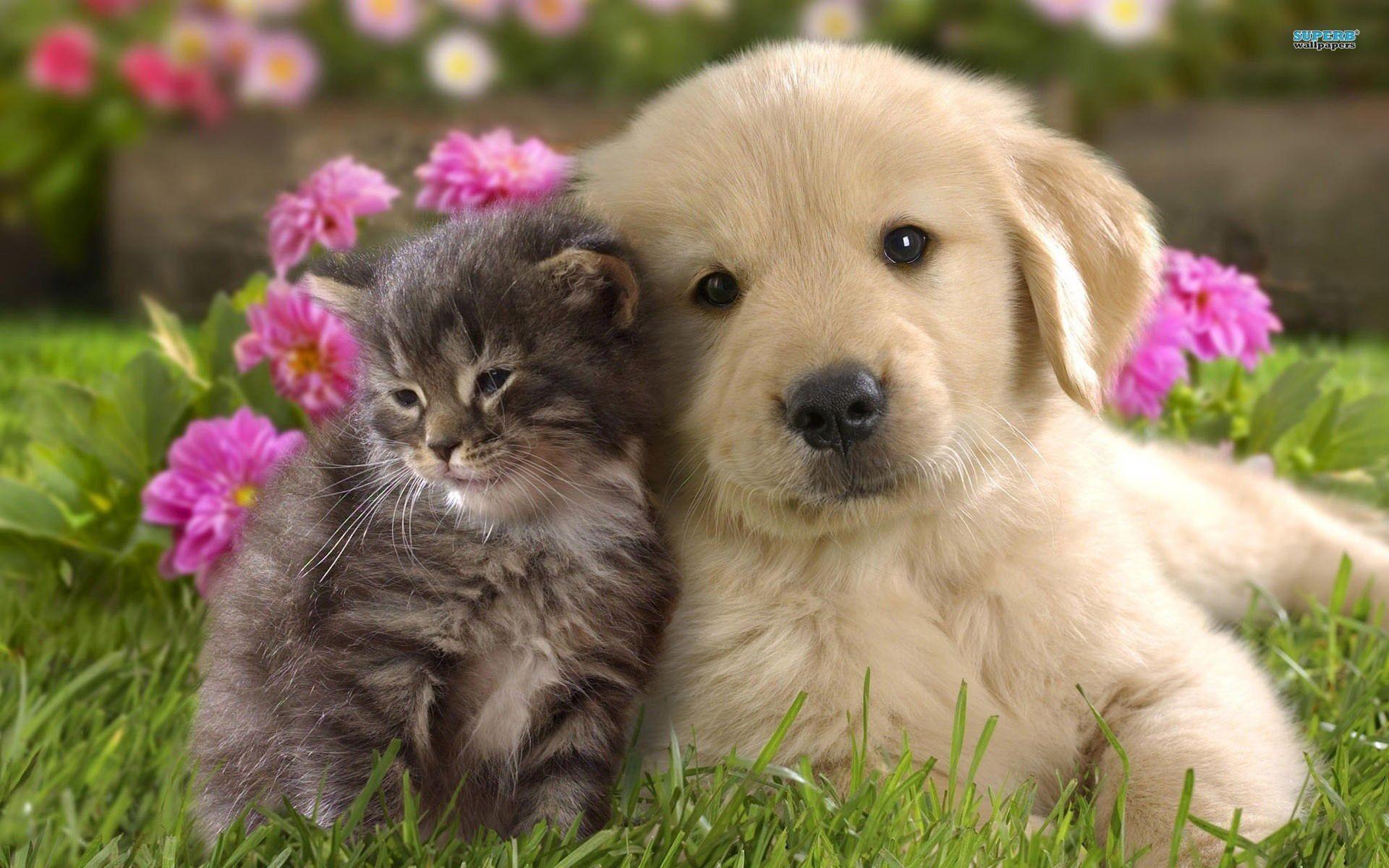 Yellow Labrador Puppy Wallpaper Px Free Download .