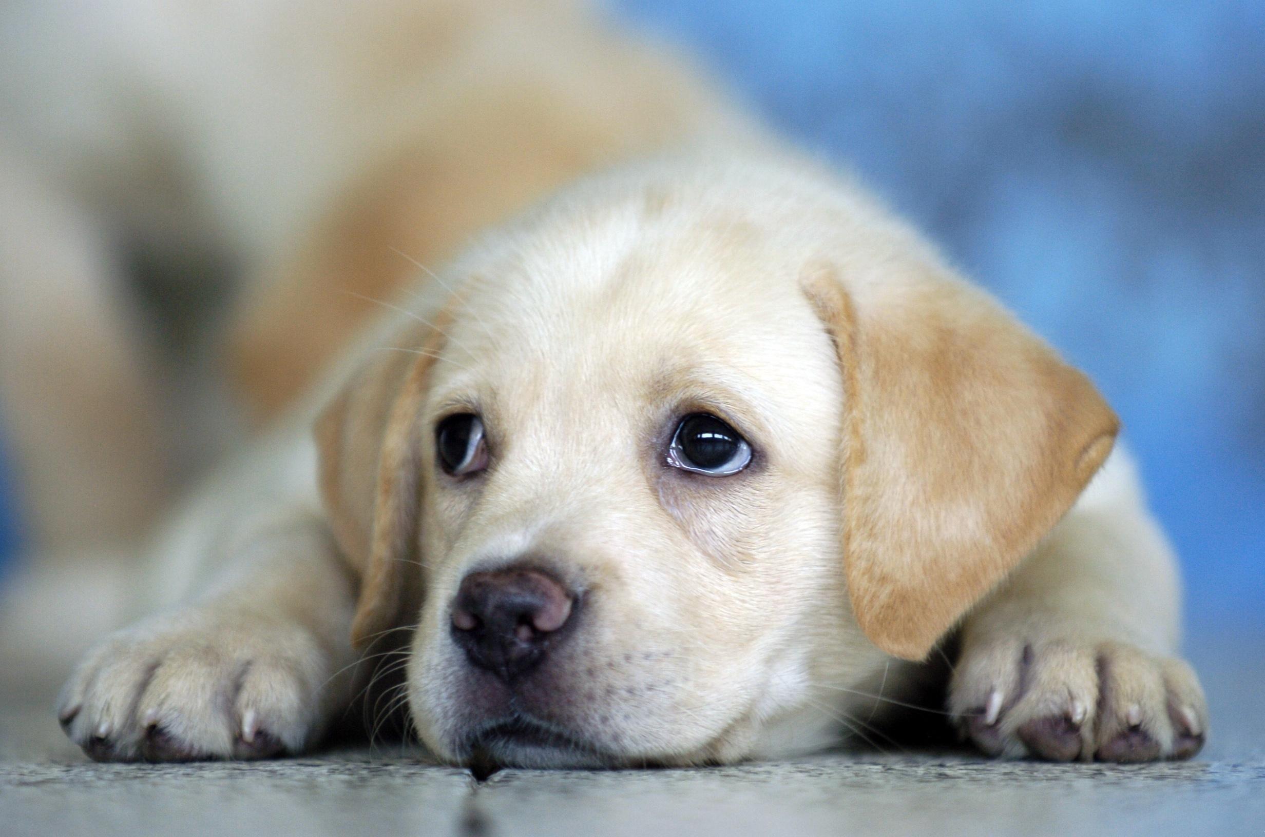 Cute Labrador Puppy Wallpapers HD Free 83289 – PowerballForLife