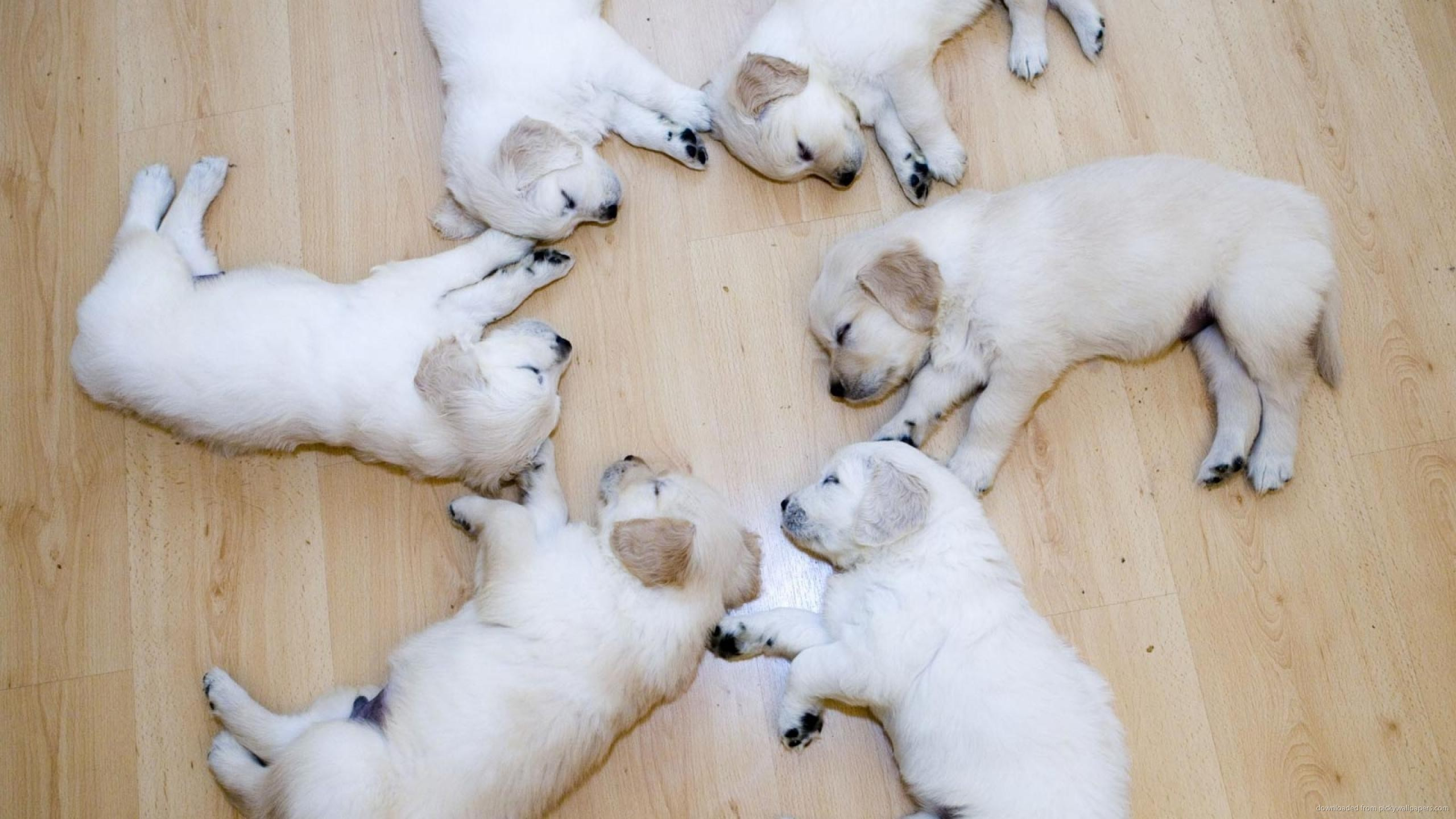 Five Labrador Puppies Laying On The Floor for 2560×1440