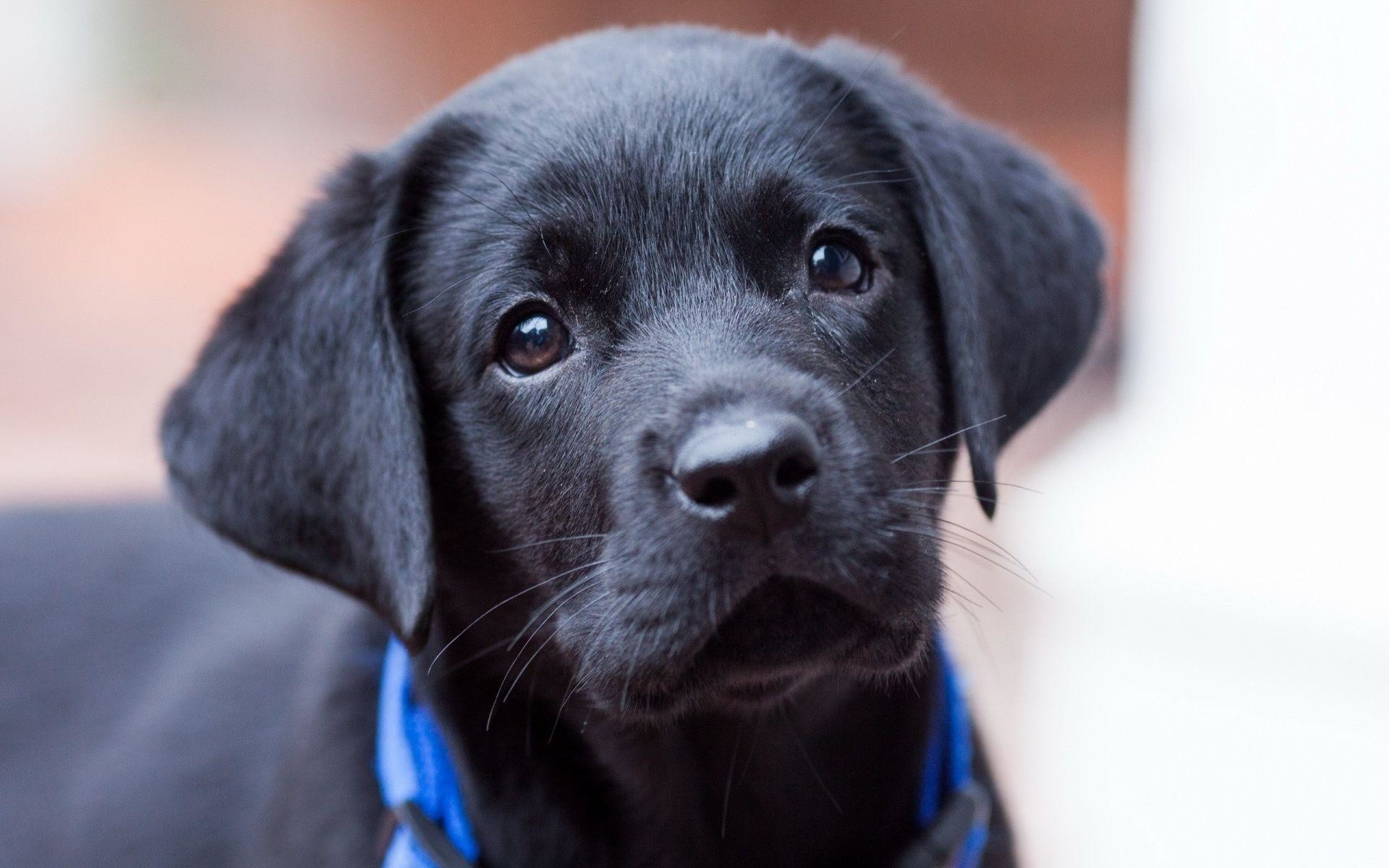 Wallpapers For > Cute Black Lab Puppy Wallpapers