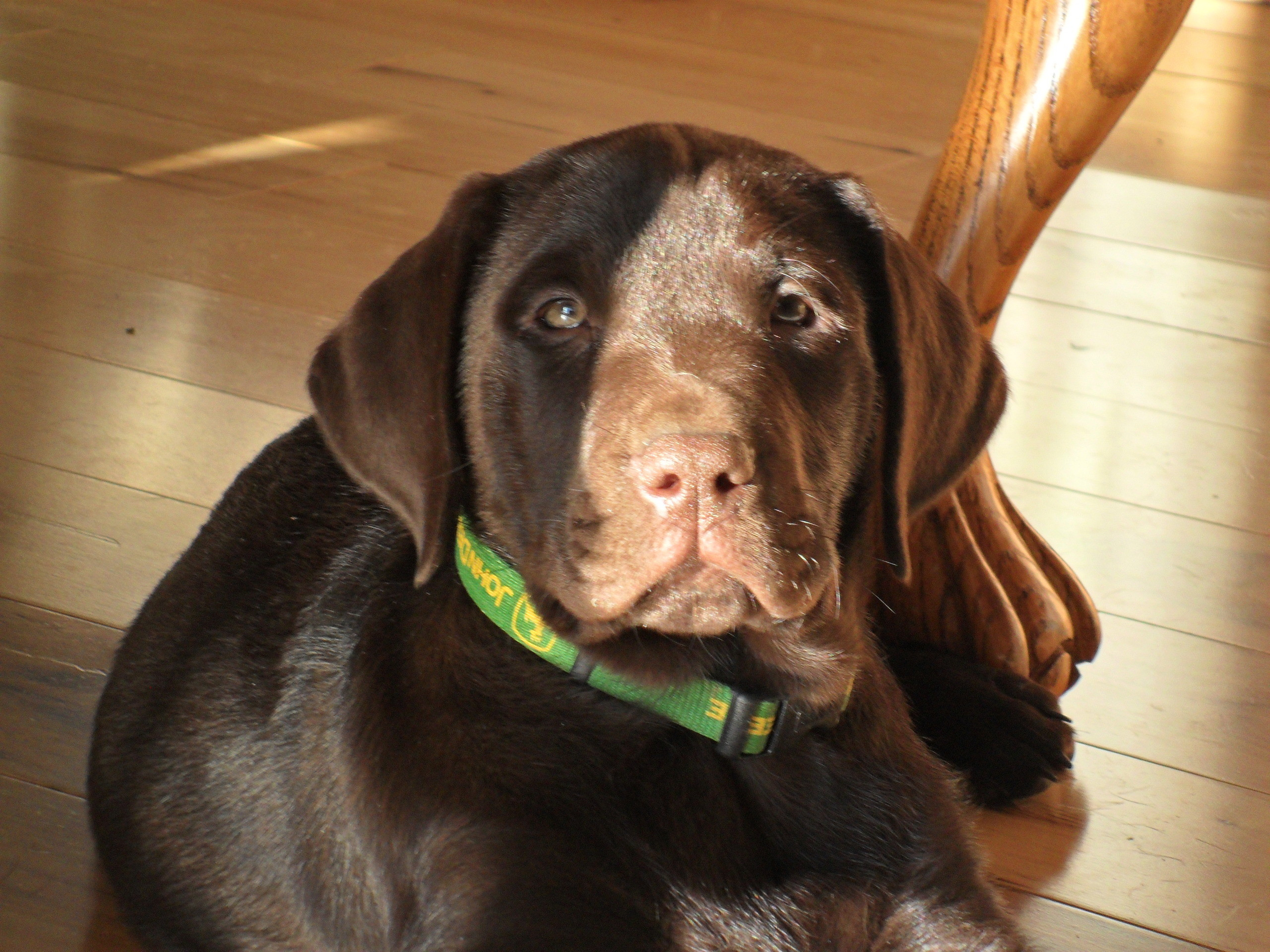 Chocolate Labs images male chocolate lab puppy HD wallpaper and background  photos