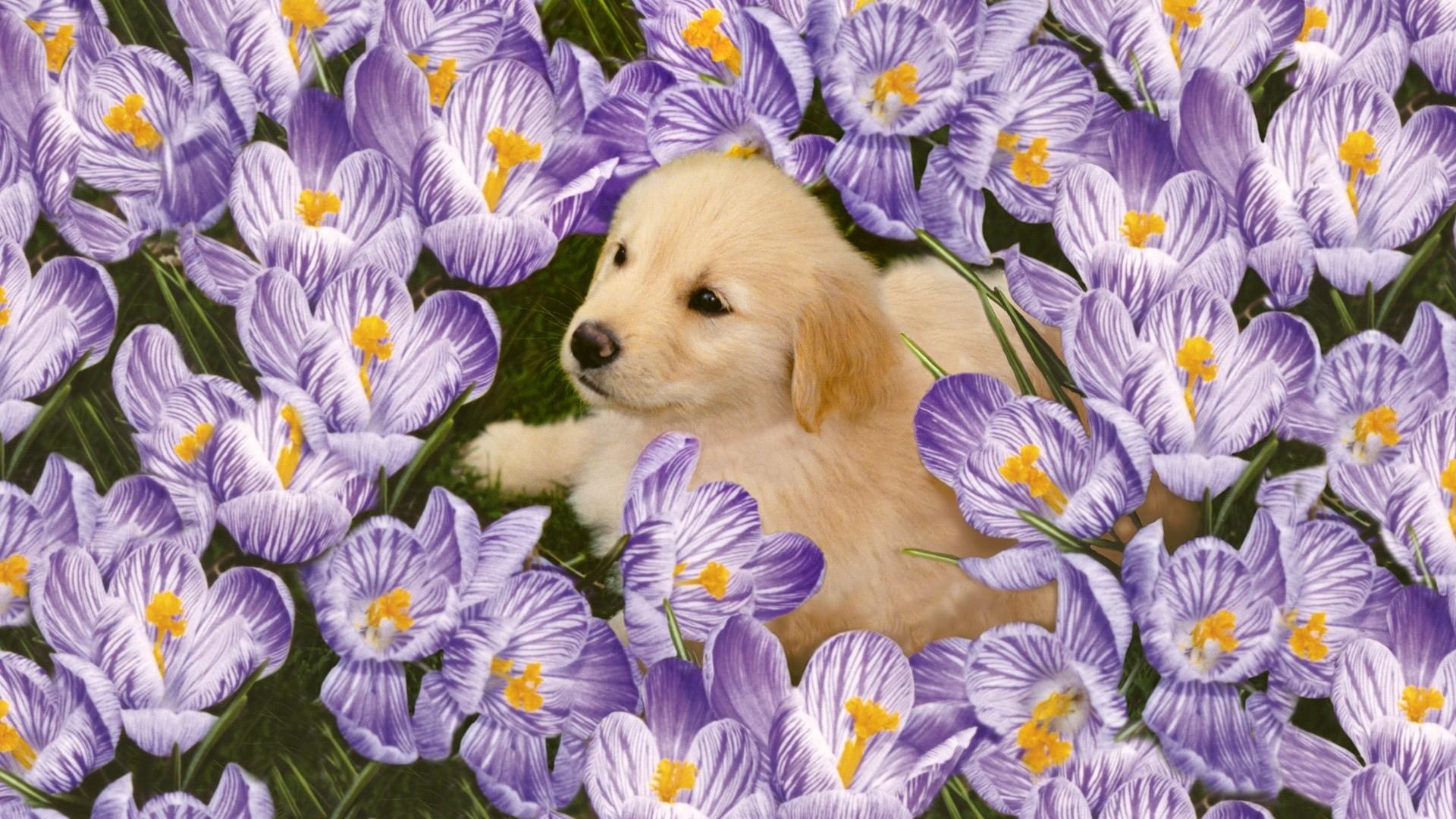 Preview wallpaper labrador, puppy, flowers 1920×1080