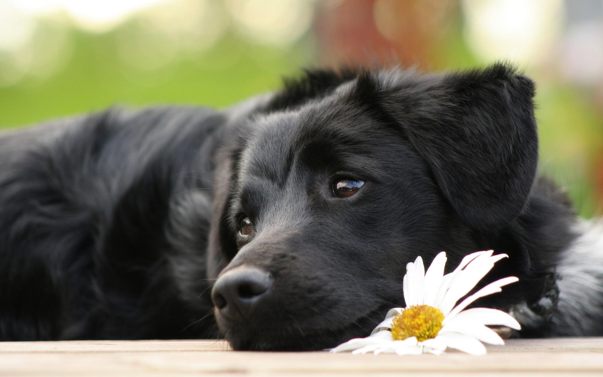 Cute Black Labrador Retriever Innocent Puppy Wallpaper