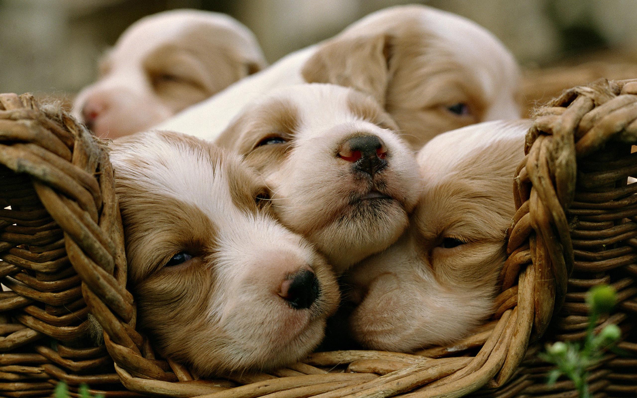 Labrador Puppies wallpaper – free wallpapers, download wallpaper .