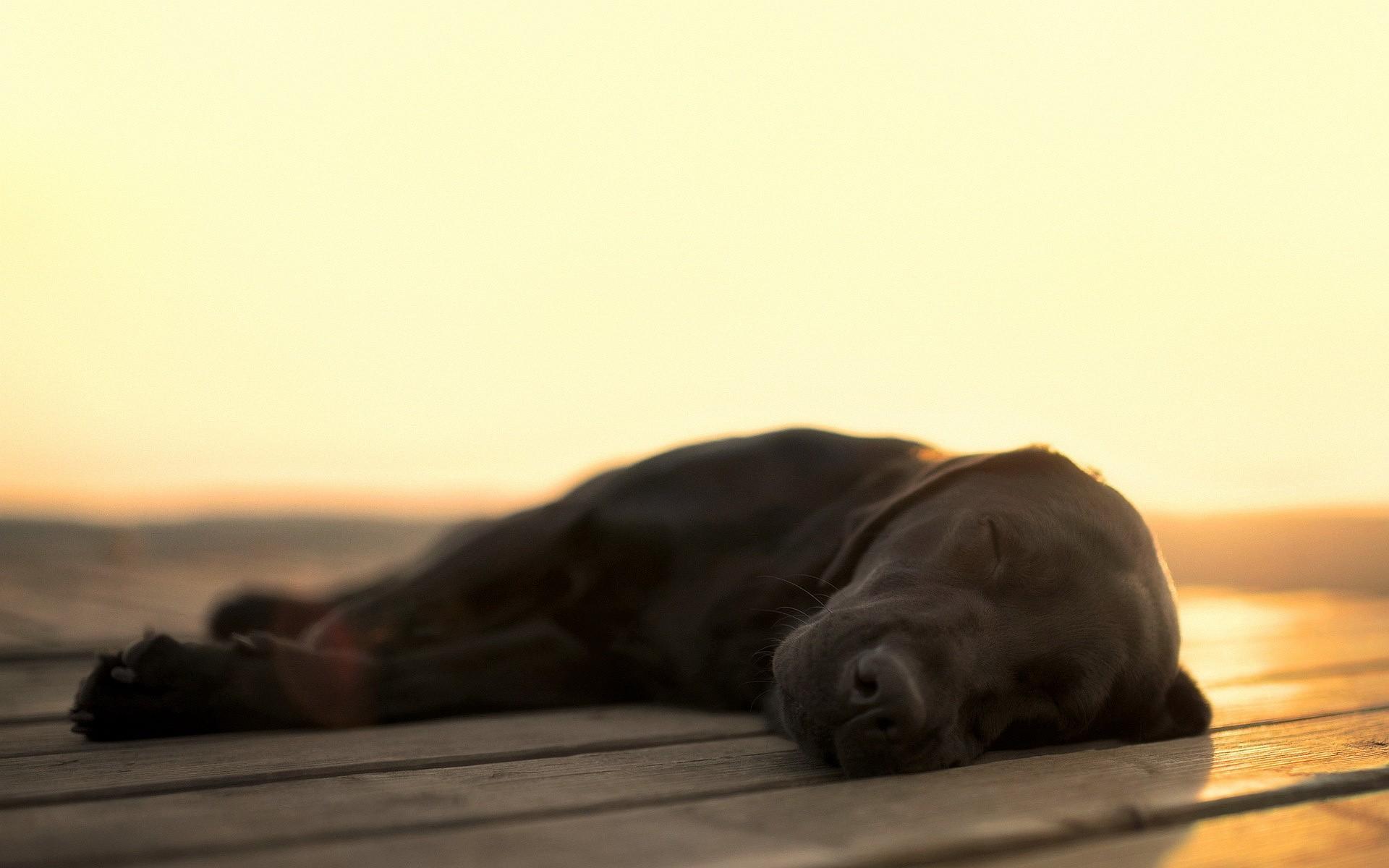 labrador dog sleeping 102556