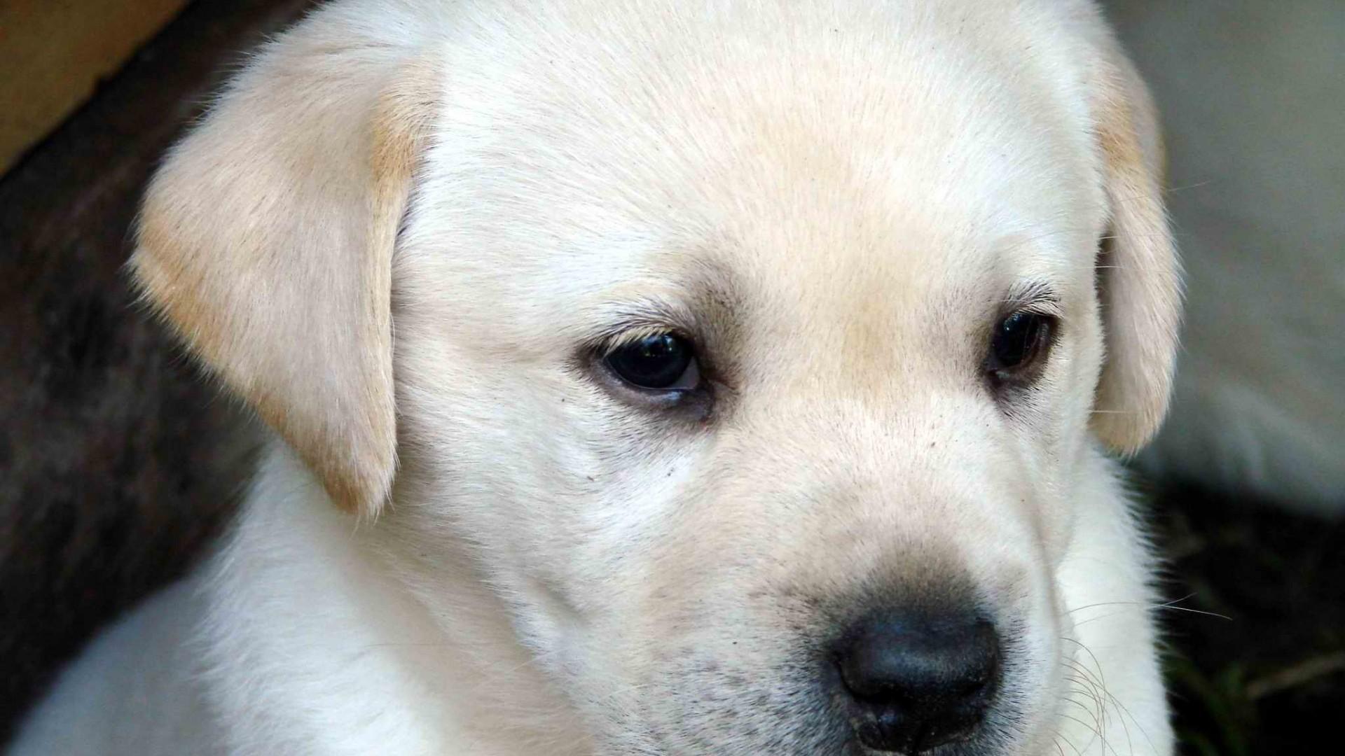 Preview wallpaper labrador, puppy, dog, face, eyes, sadness 1920×1080