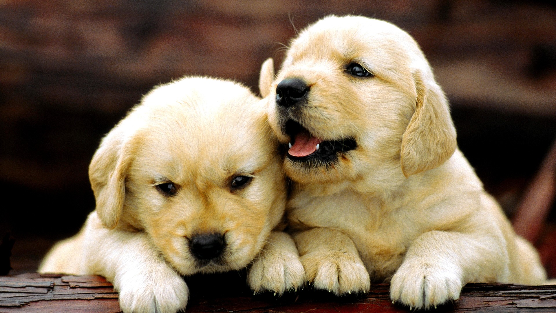 dogs labrador puppies wallpaper. Â«Â«