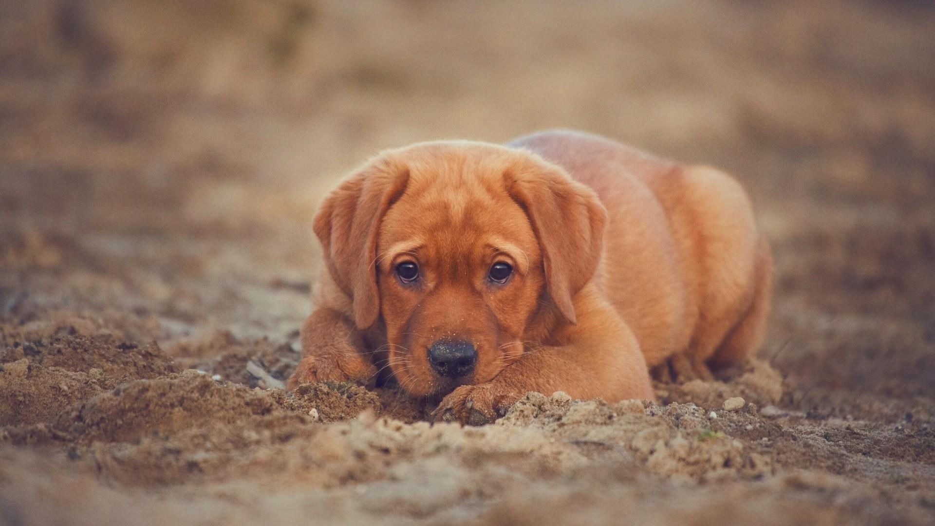 Wallpaper retriever, labrador, dog, puppy