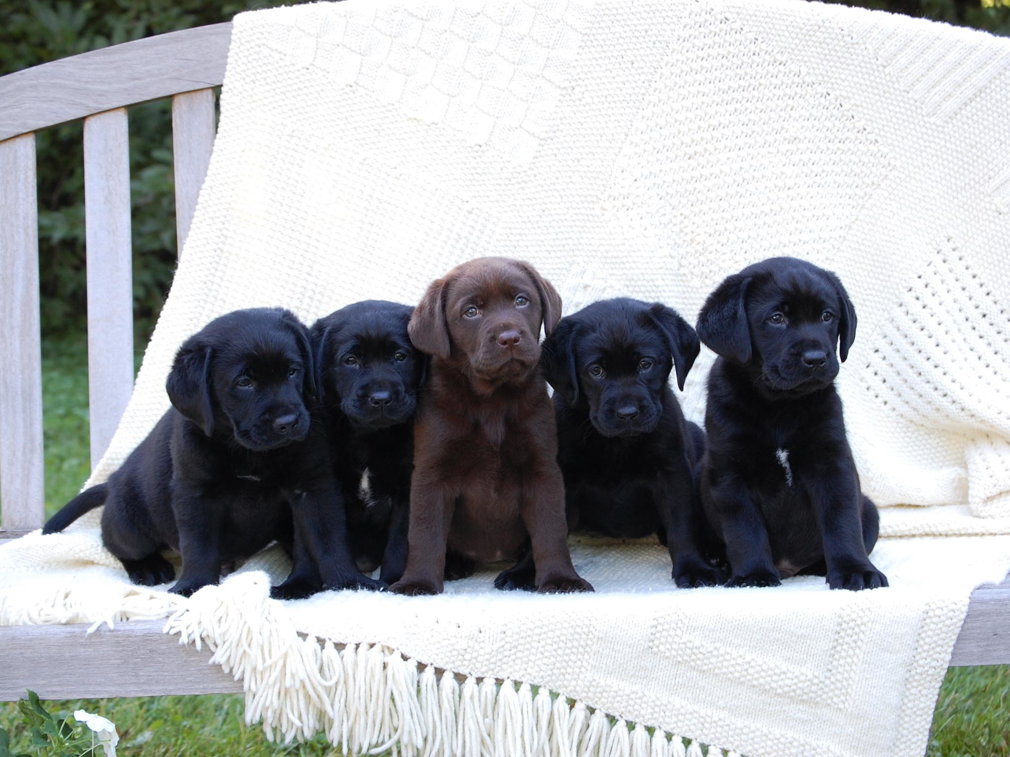 Chocolate and Black Lab Puppies.