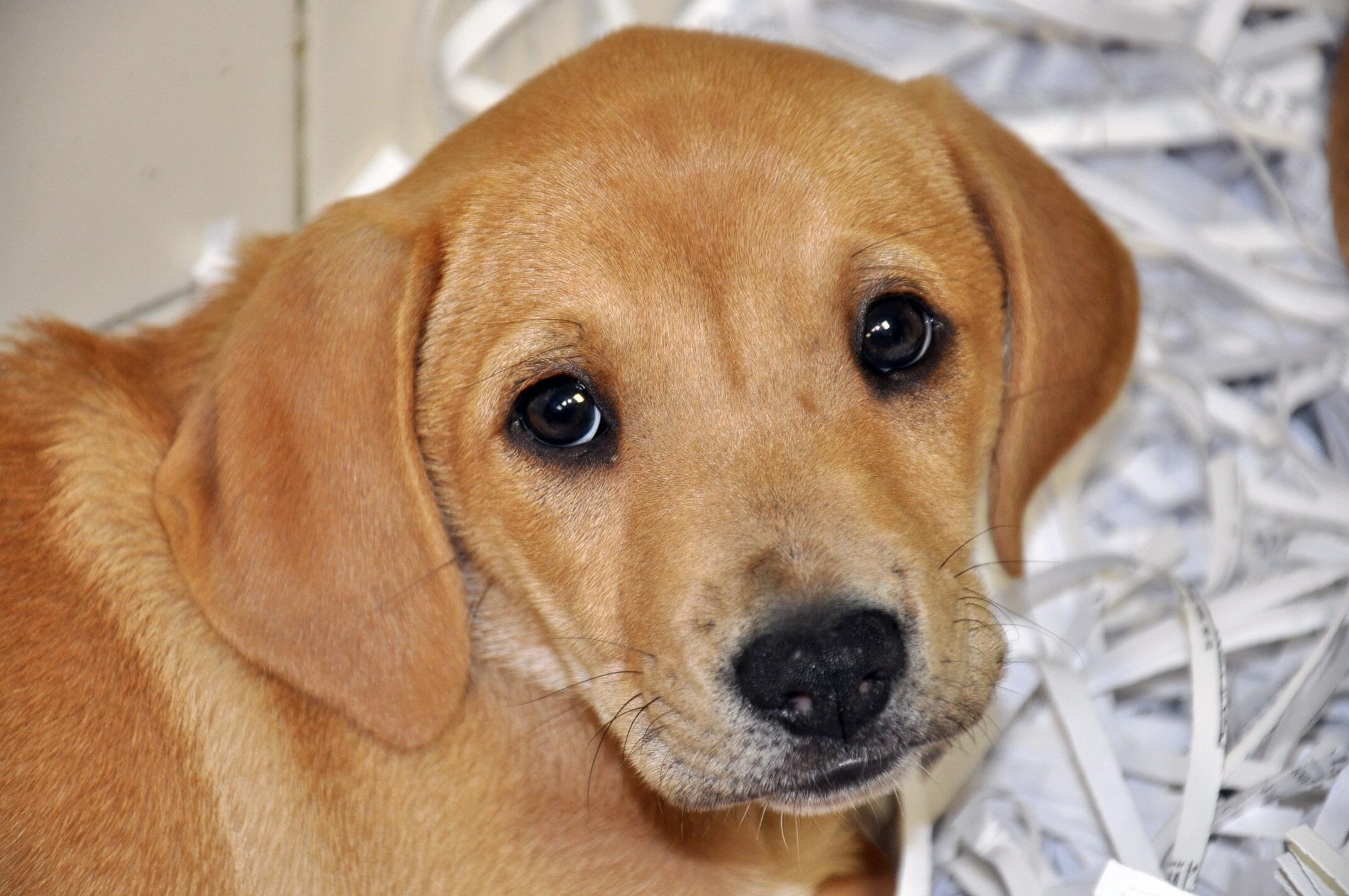 Soooo Adorable (labrador Puppy)