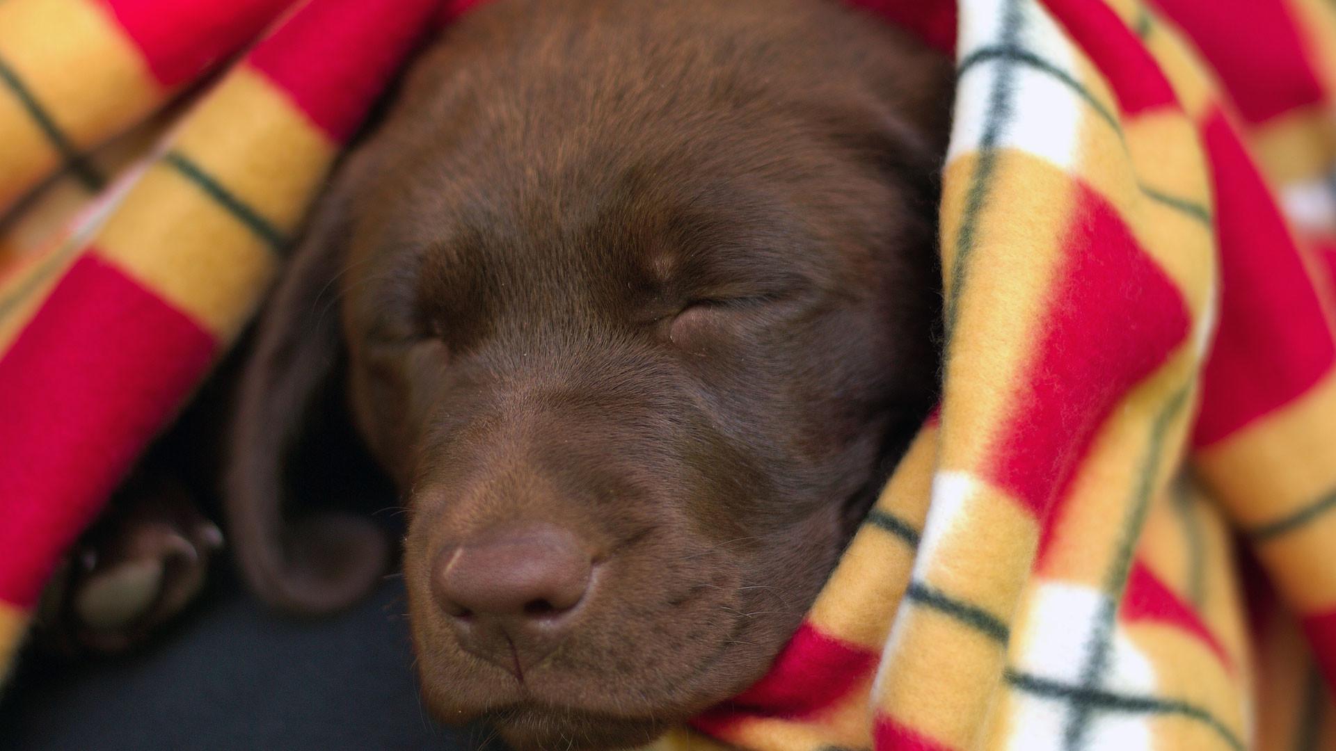  1680×1050  1440×900  1280×1024   800×600. Description: A chocolate  labrador retriever puppy …