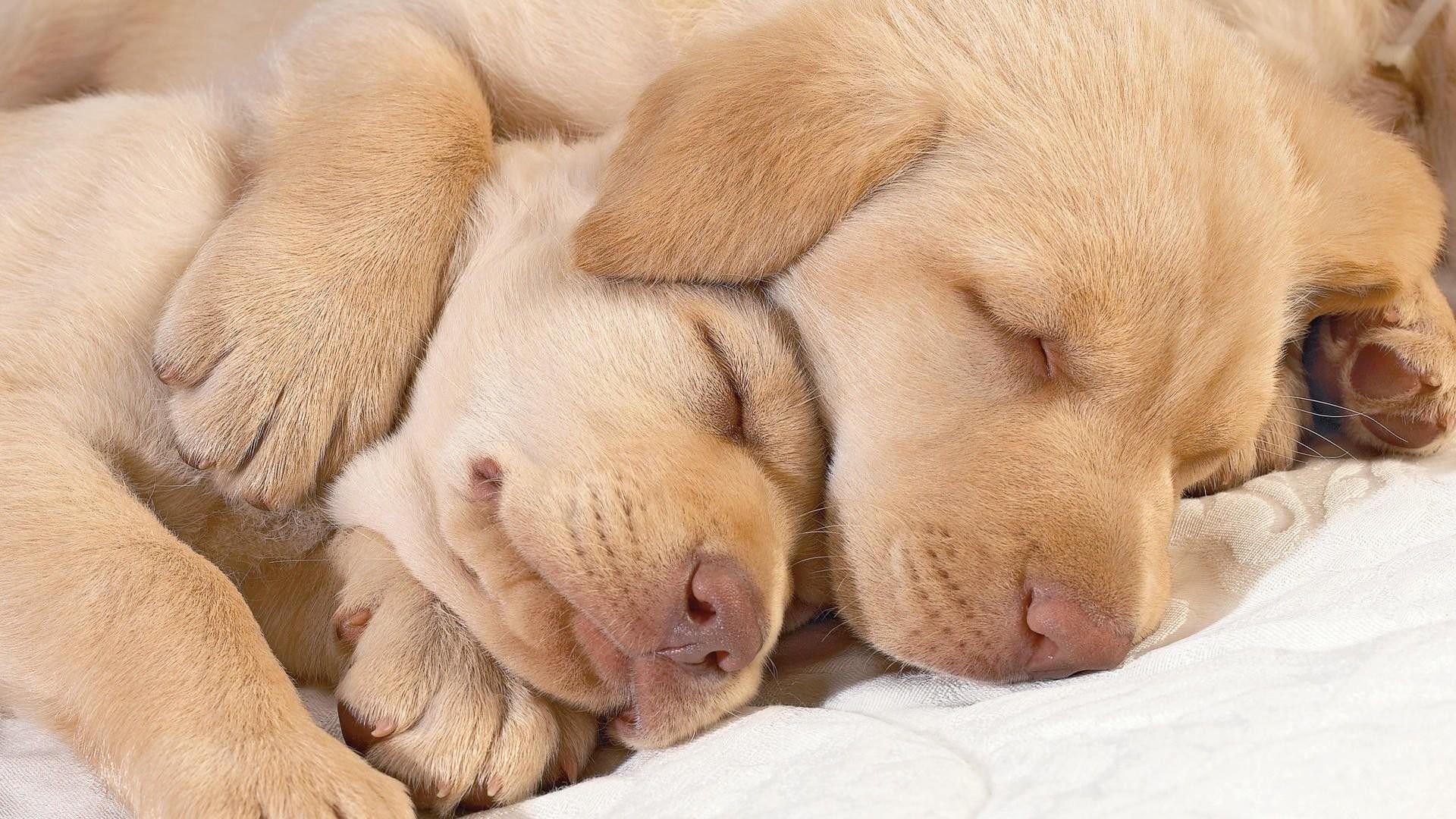 Sleeping Labrador Puppies 842105