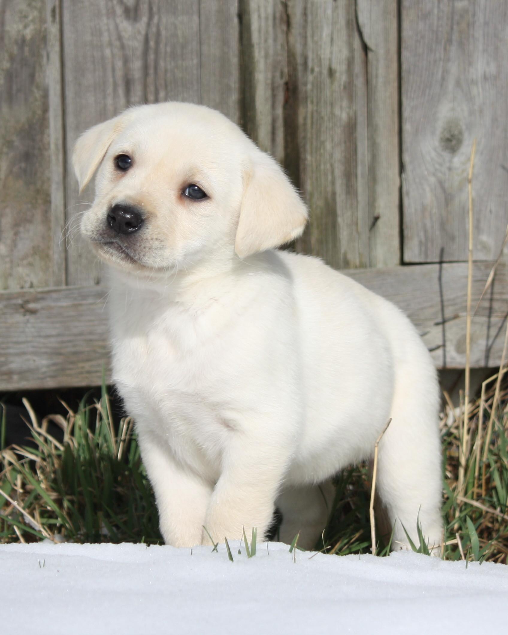 60 Chocolate Lab Puppy