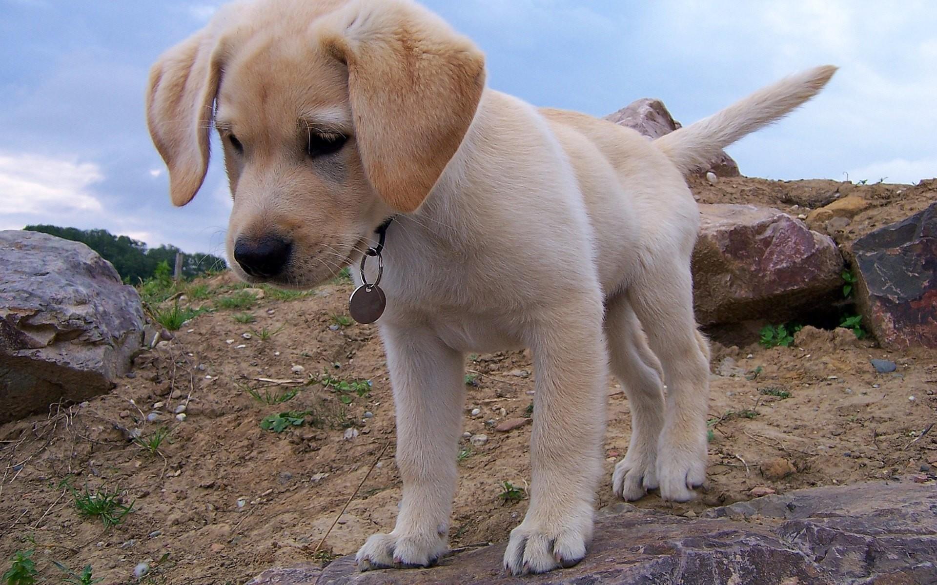 HD Wallpaper 2: Labrador Puppy