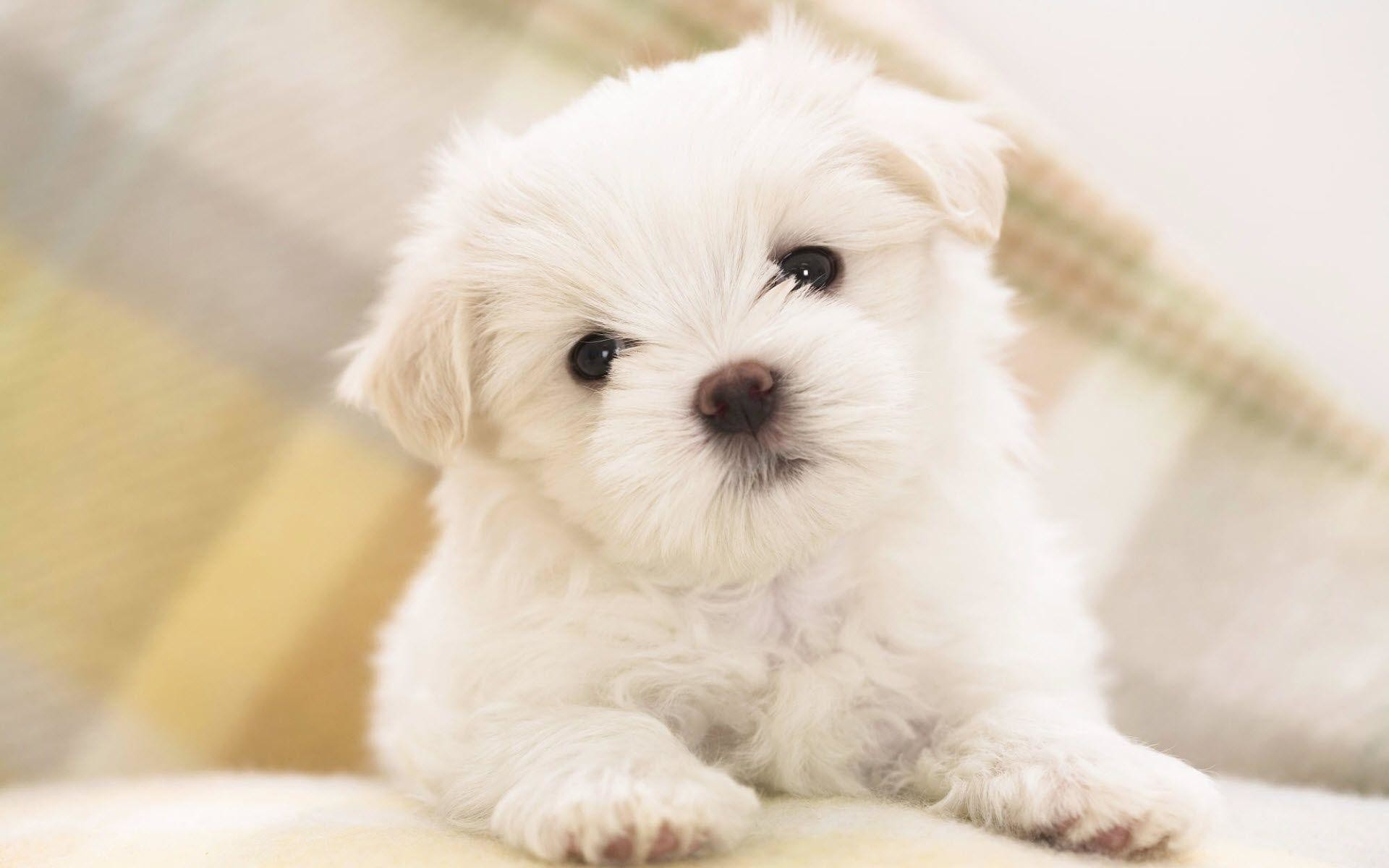 maltese puppy animal wallpaper | Desktop Backgrounds for Free HD .