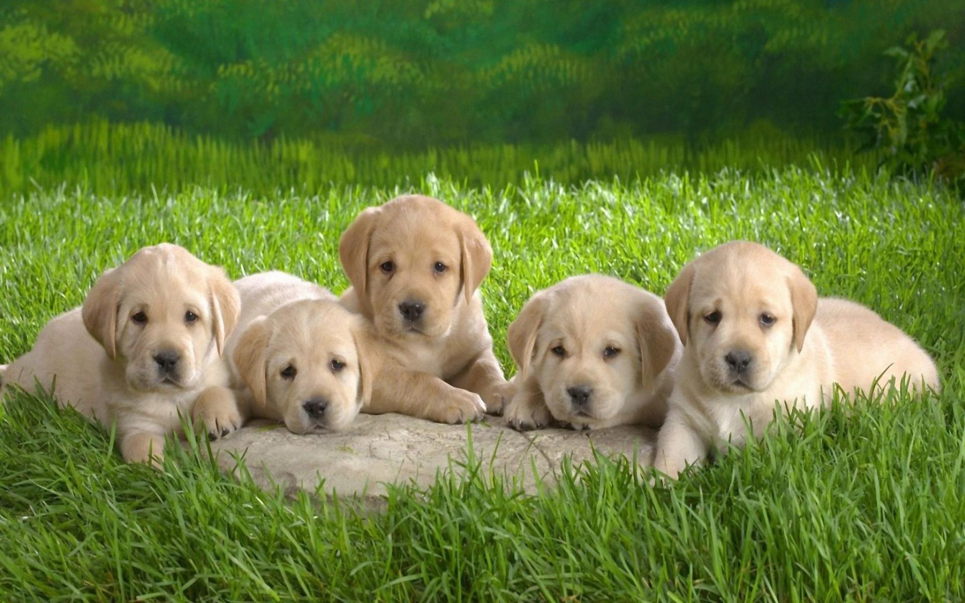 Cute Puppies HD Desktop Wallpaper | HD Desktop Wallpaper