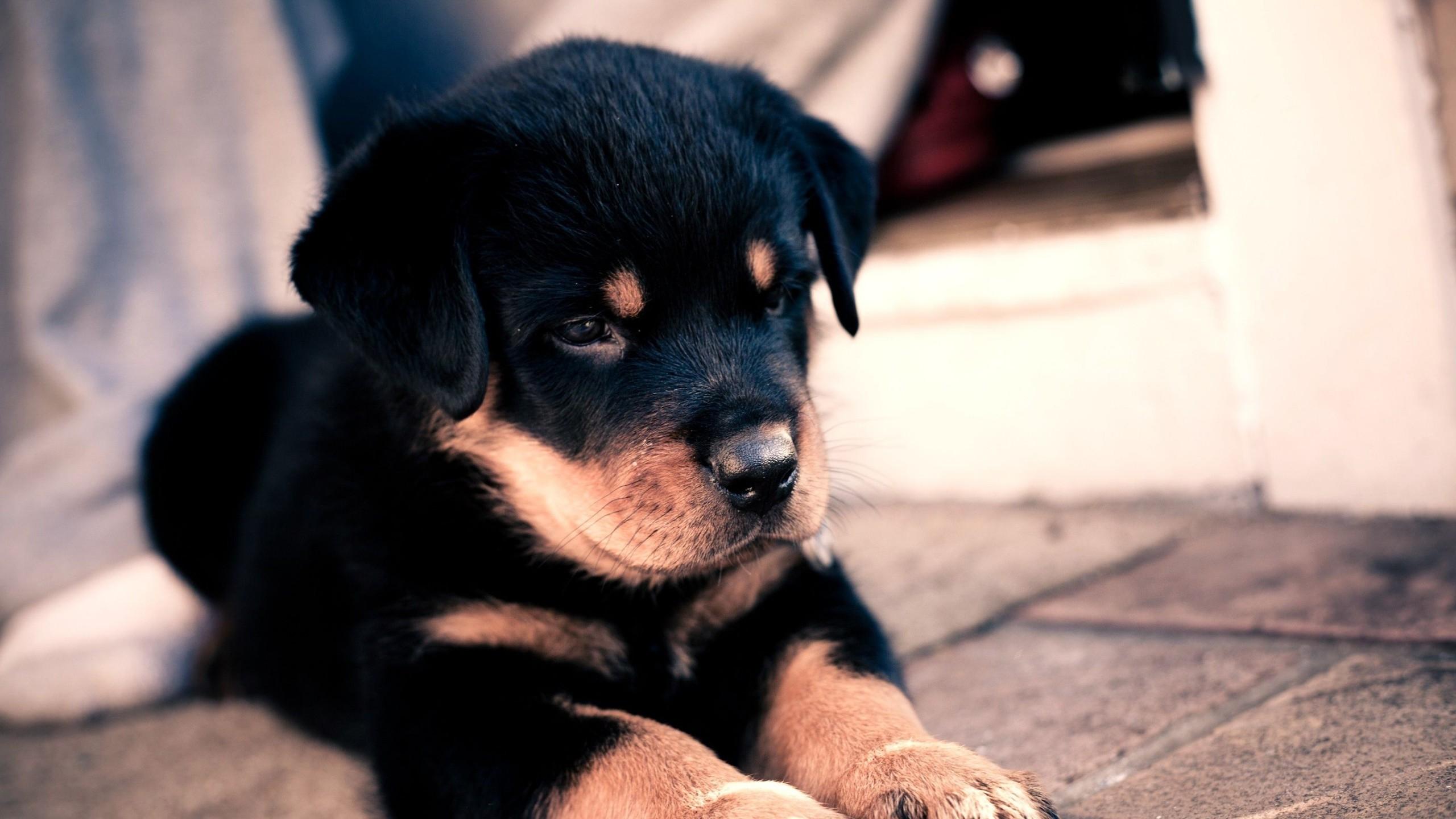 Preview wallpaper puppy, rottweiler, cute, baby 2560×1440