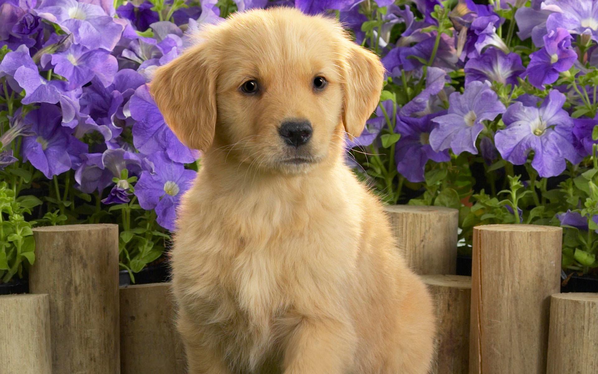 Beautiful Puppy Desktop Wallpaper 15497