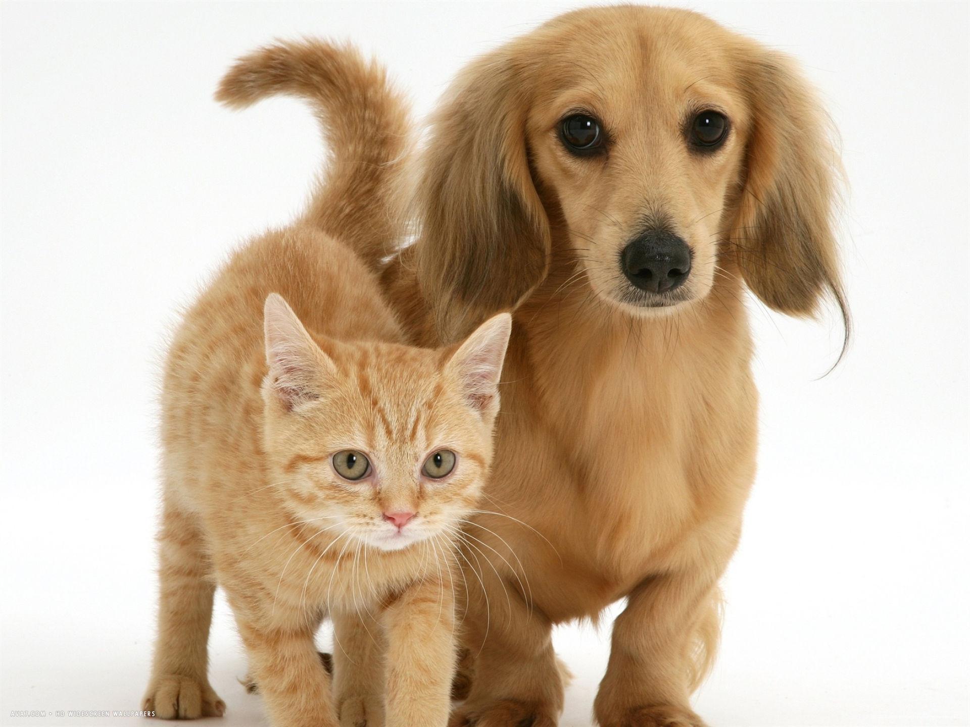 cream kitten with cream dapple dachshund puppy desktop wallpaper