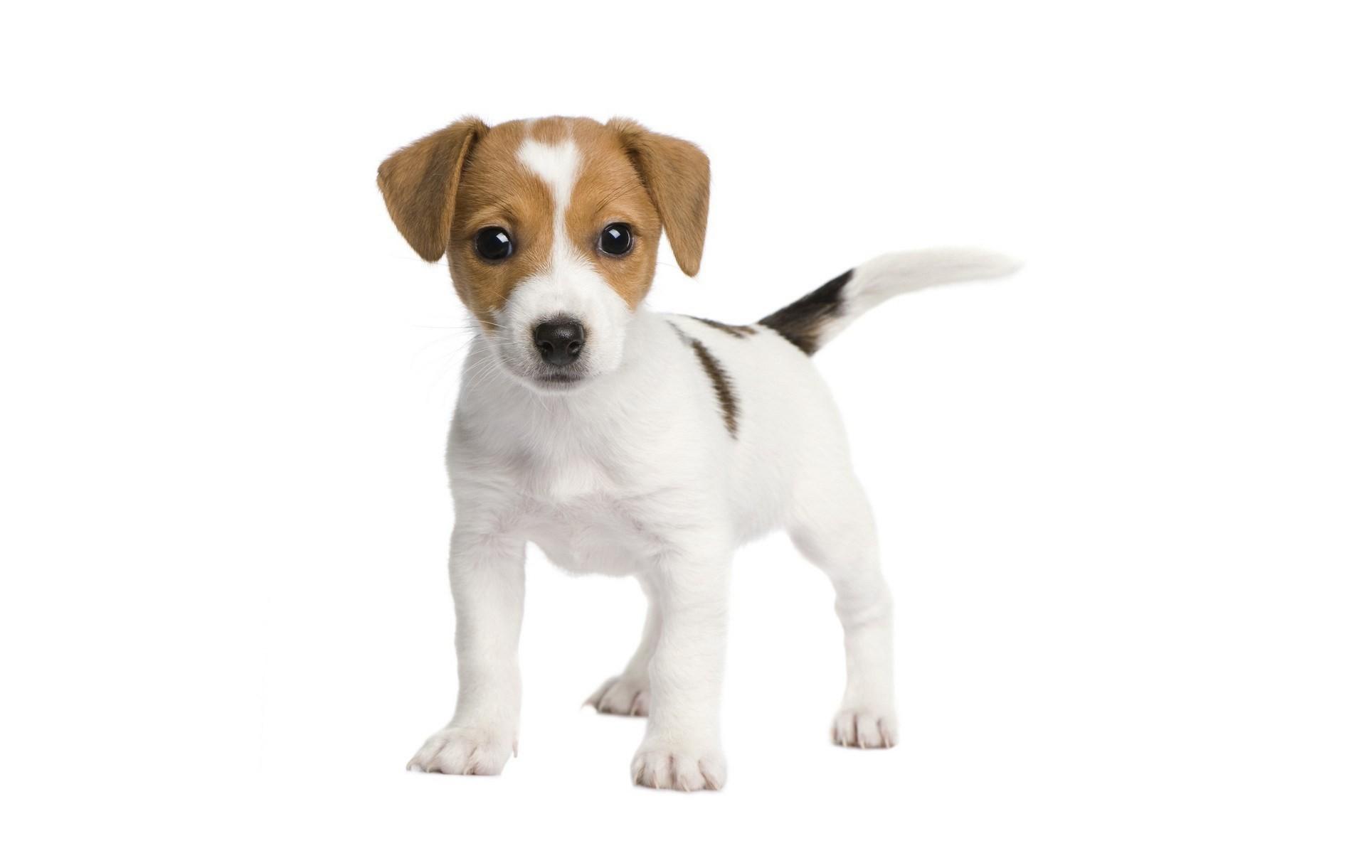 puppy desktop wallpaper free