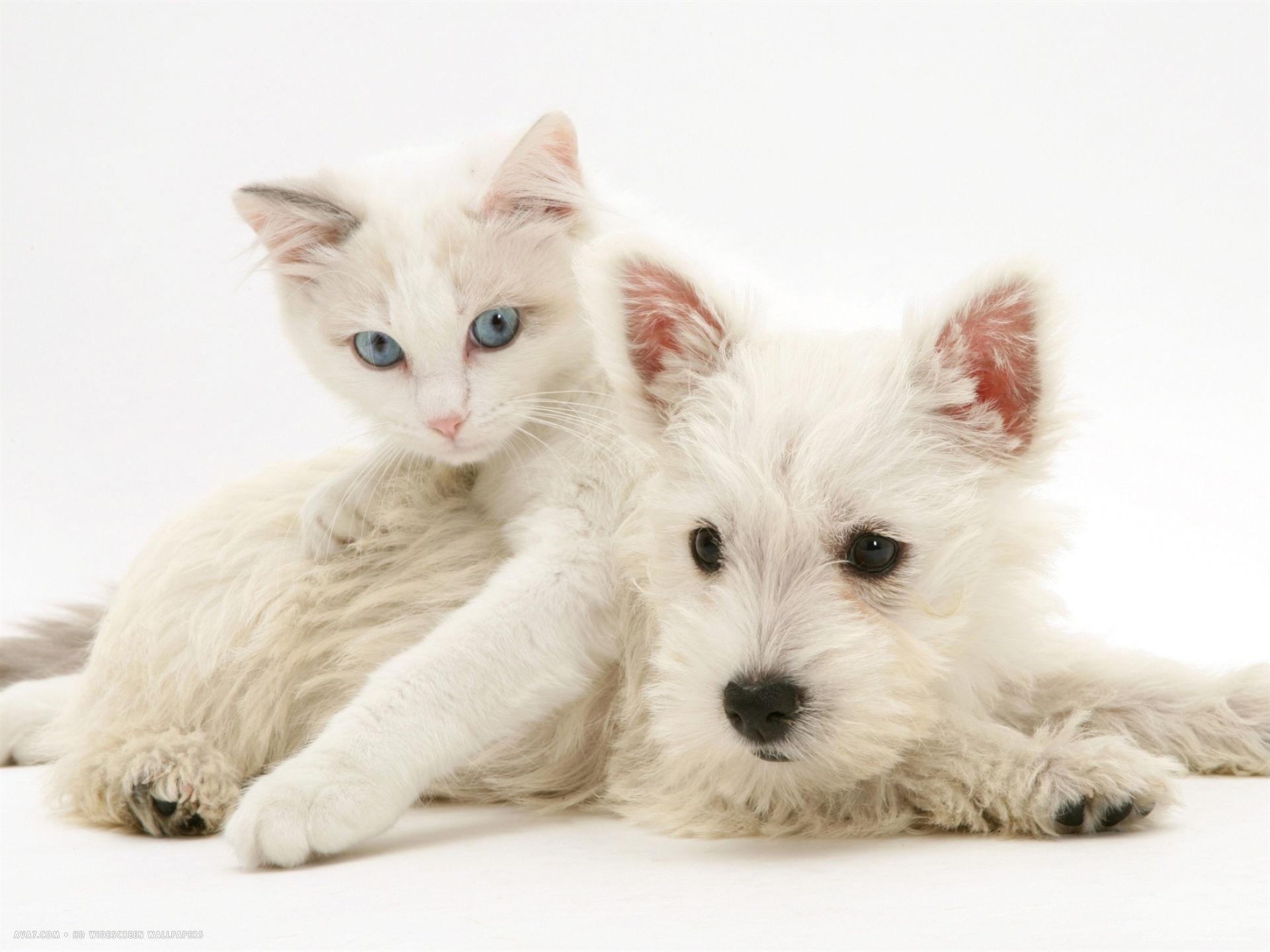 ragdoll kitten with west highland white terrier puppy desktop wallpaper