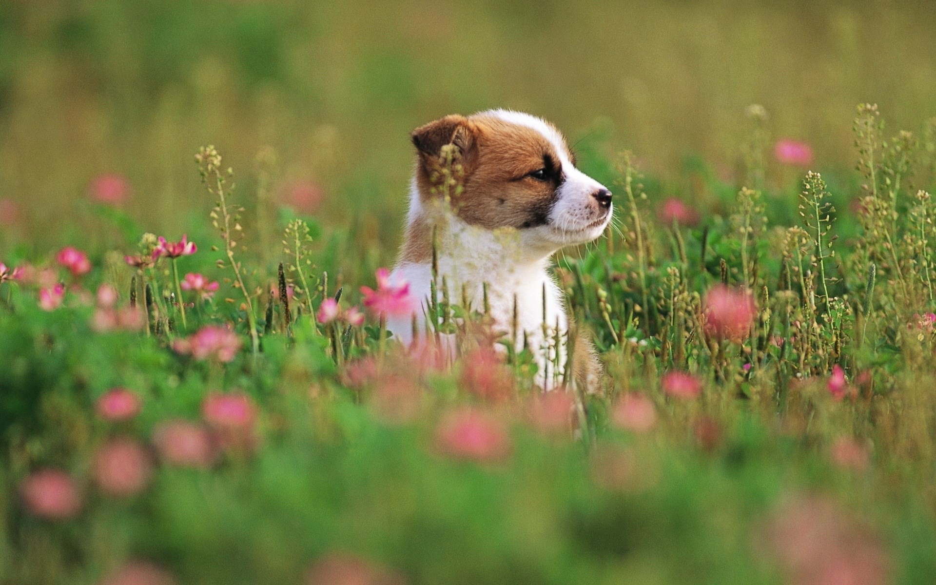 puppy backgrounds for desktop hd backgrounds