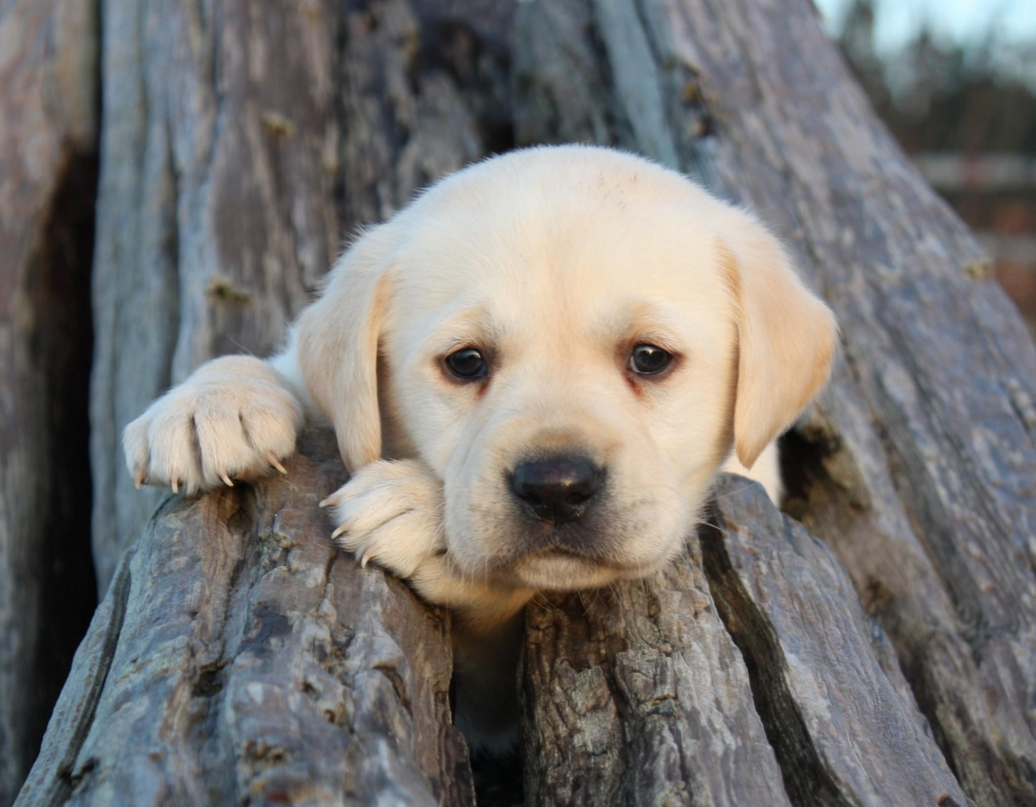 puppy wallpaper desktop backgrounds