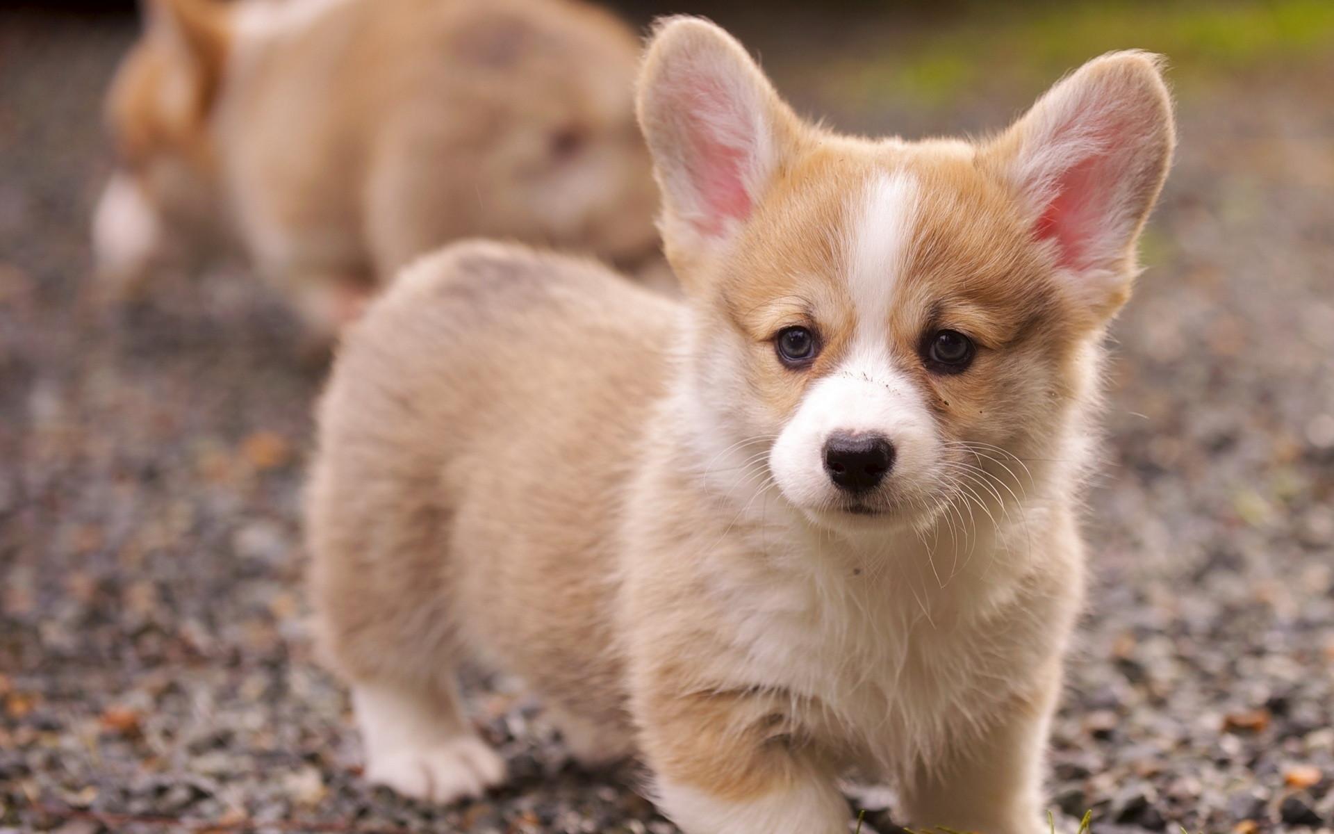 Corgi Puppy Desktop Background. Download …