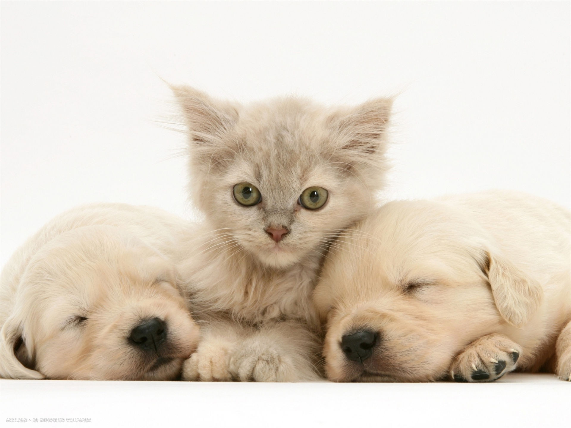 lilac tortoiseshell kitten between two sleeping golden retriever puppies  desktop wallpaper