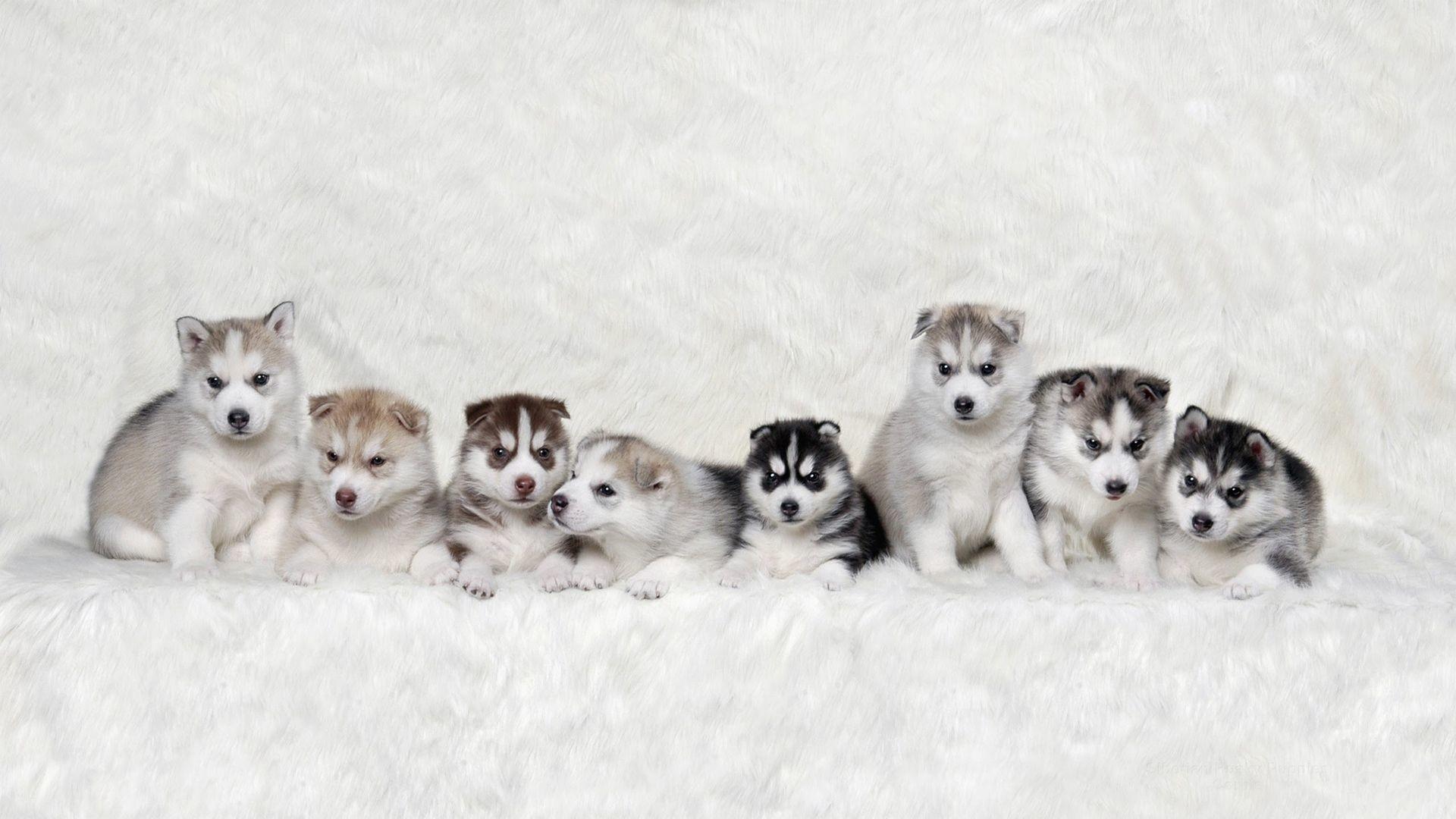 Huskies Dogs Hd Wallpapers