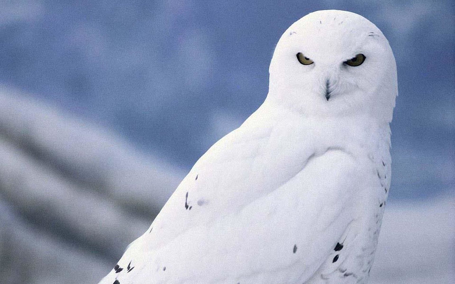 Snowy Owl Bird HD Wallpaper Android Apps on Google Play 1920×1200