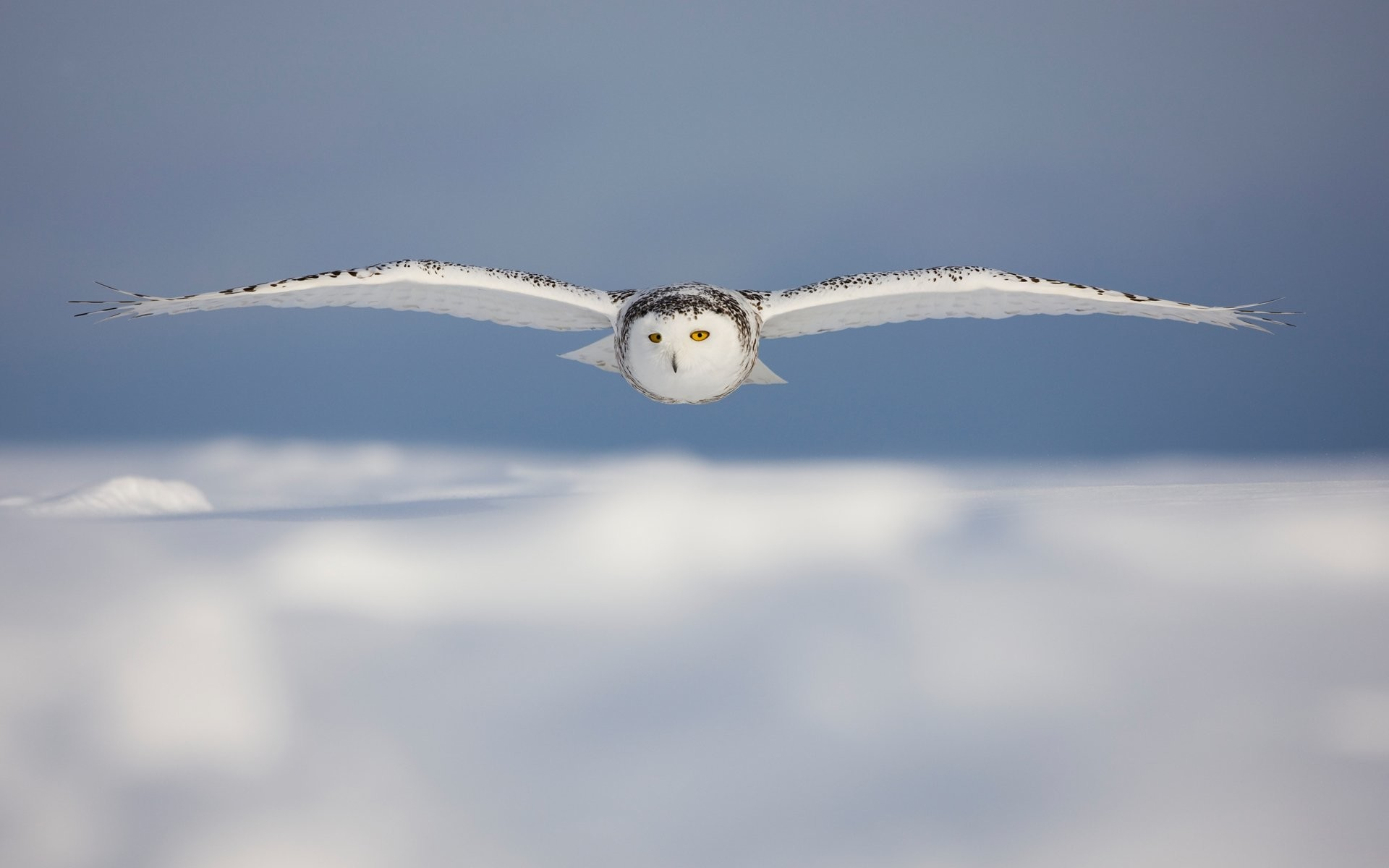 HD Wallpaper | Background ID:102753. Animal Snowy Owl