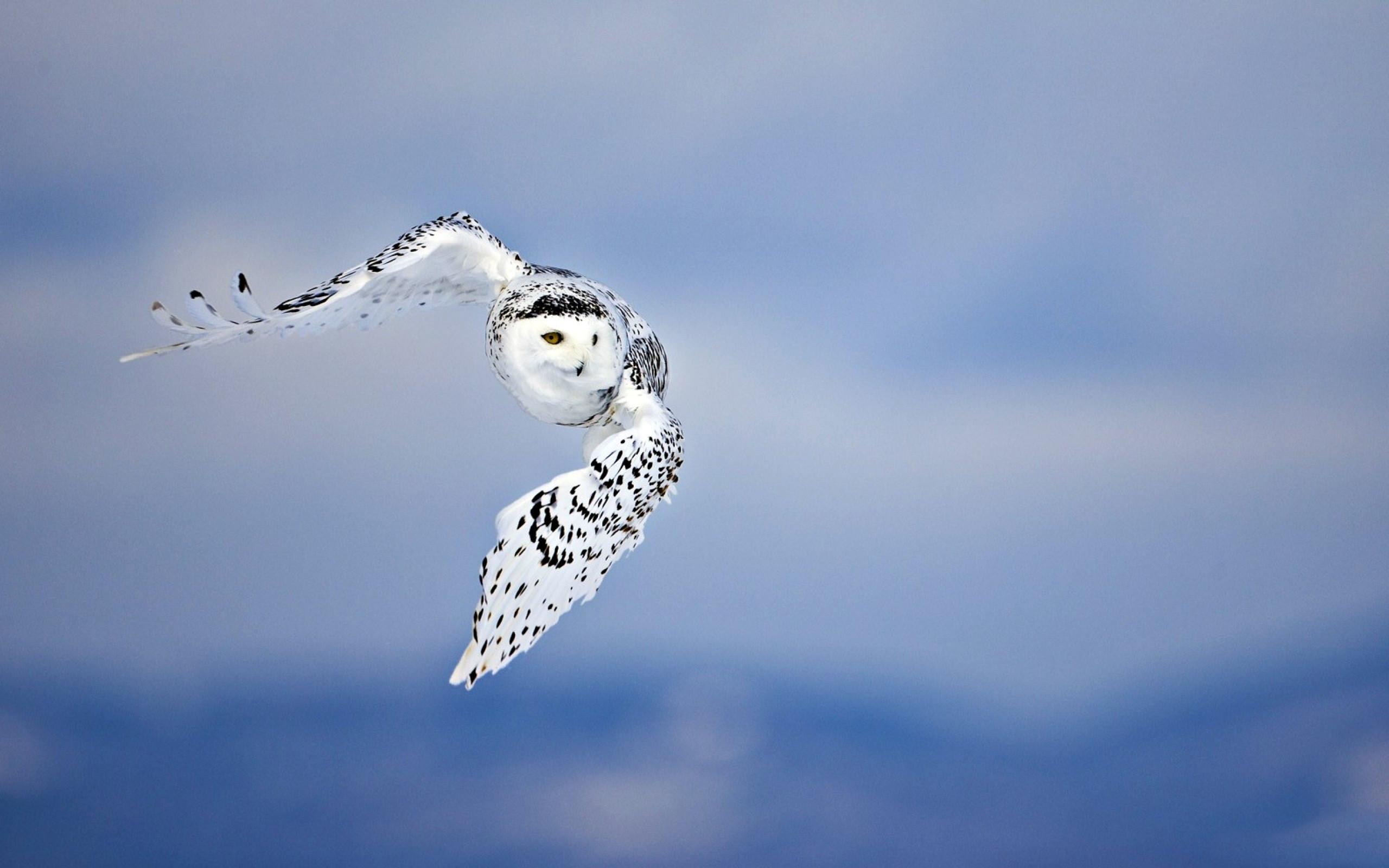 HD Wallpaper | Background ID:326123. Animal Snowy Owl