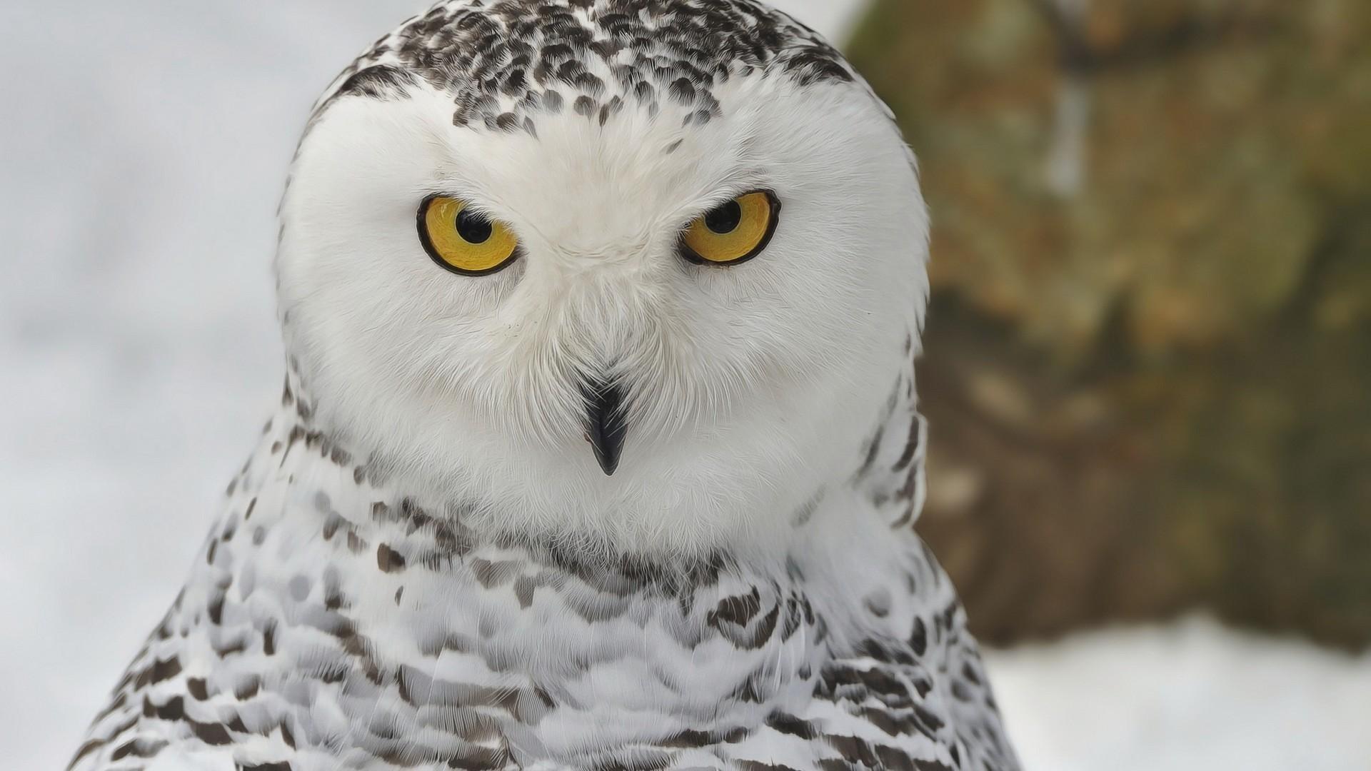 Snowy Owl hd photos