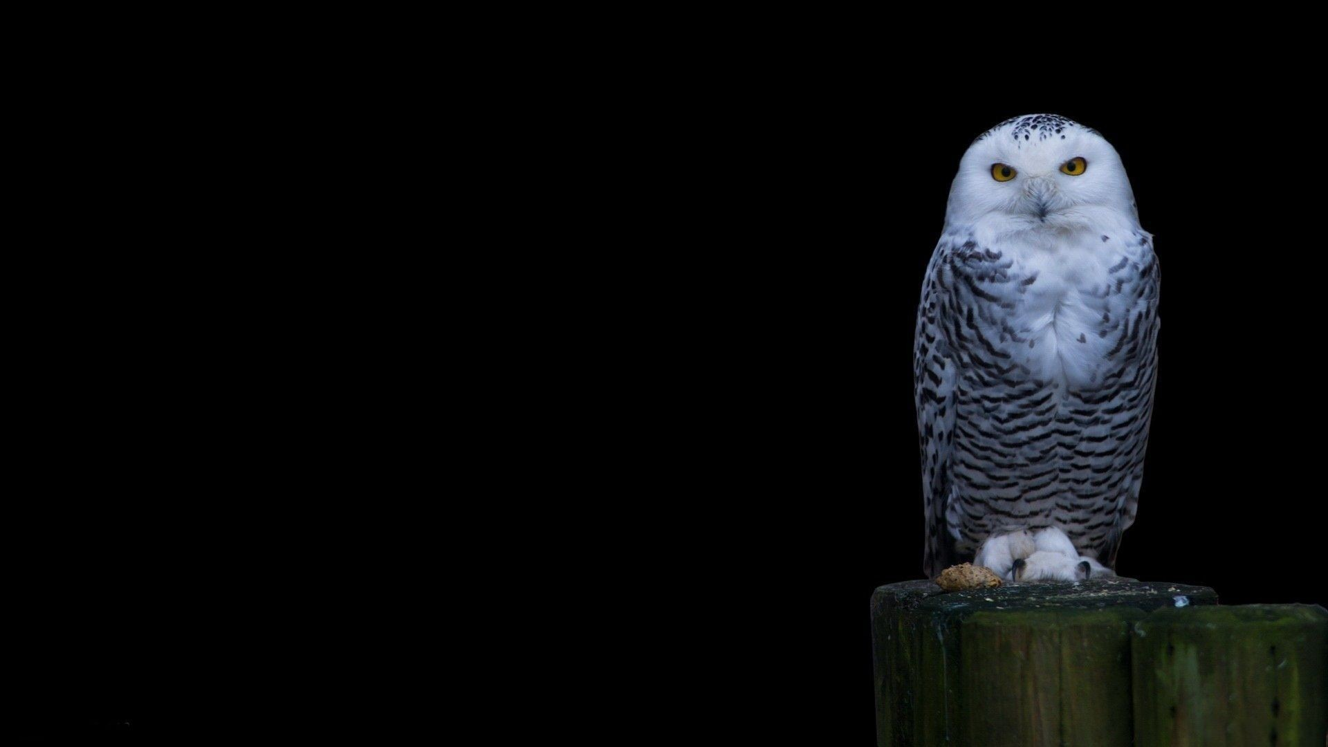 Snowy Owl Wallpapers