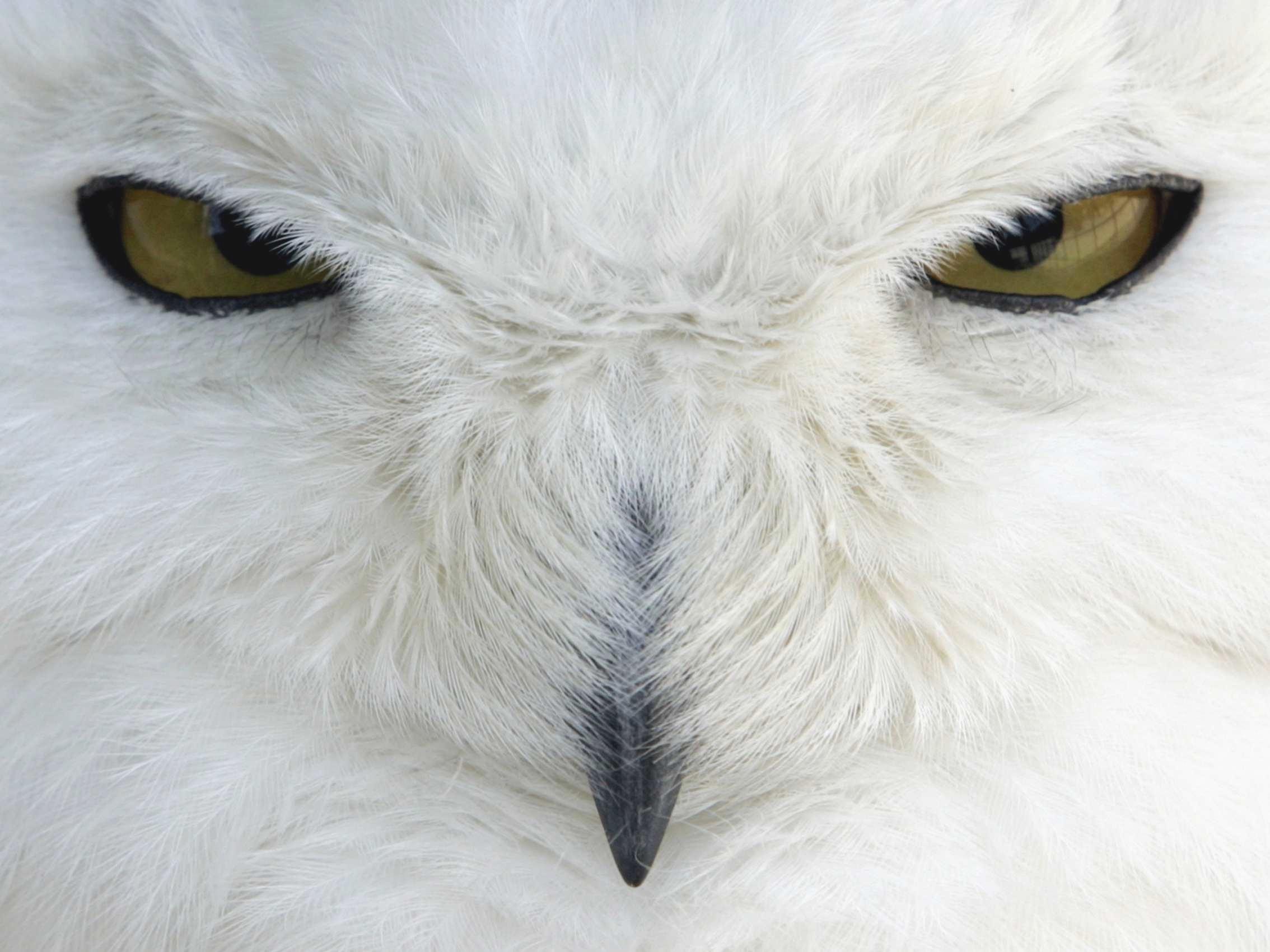 Snowy Owl hd wallpaper