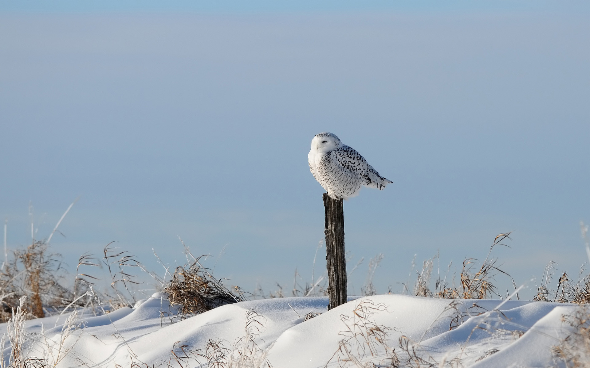 Snowy Owl Wallpaper Wide with HD Wallpaper Resolution px 391.83  KB Animals Barn Iphone Art