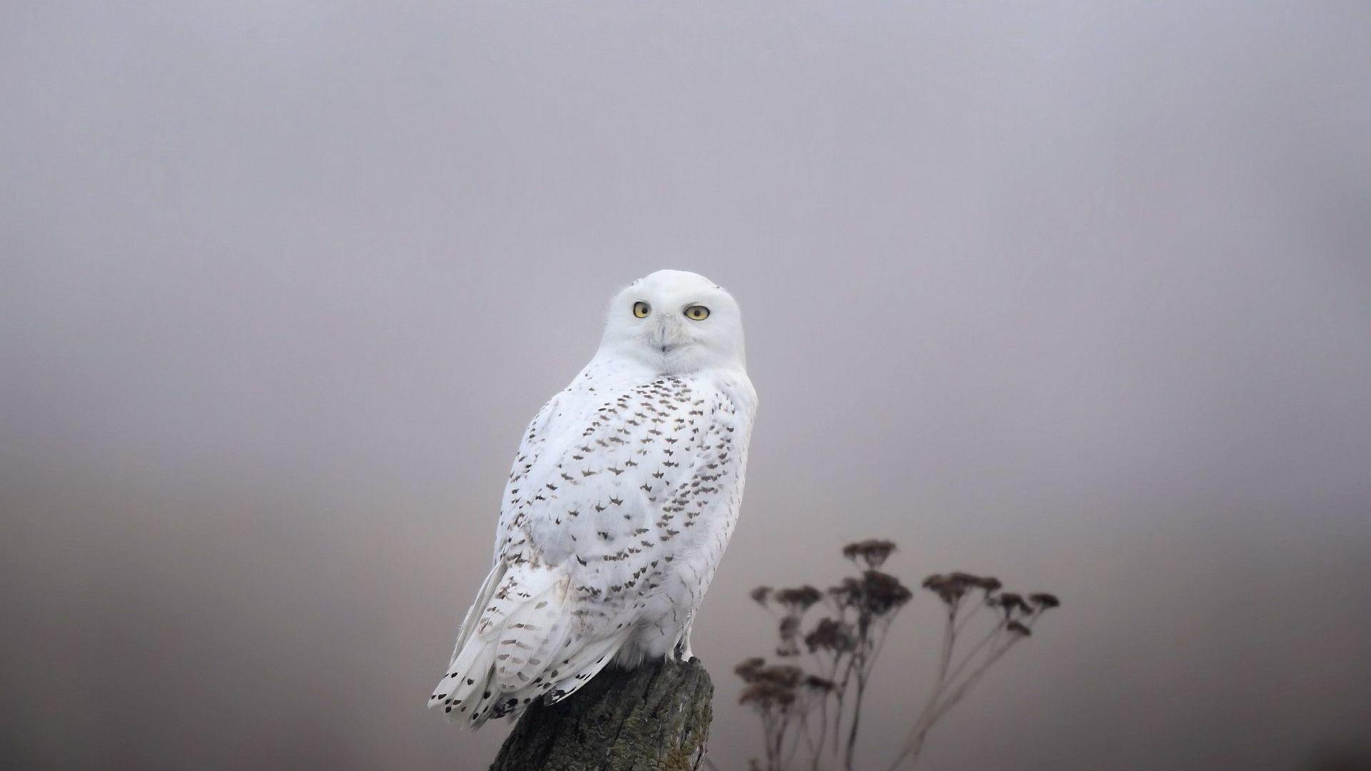 Snowy Owl HD Wallpaper Snowy …