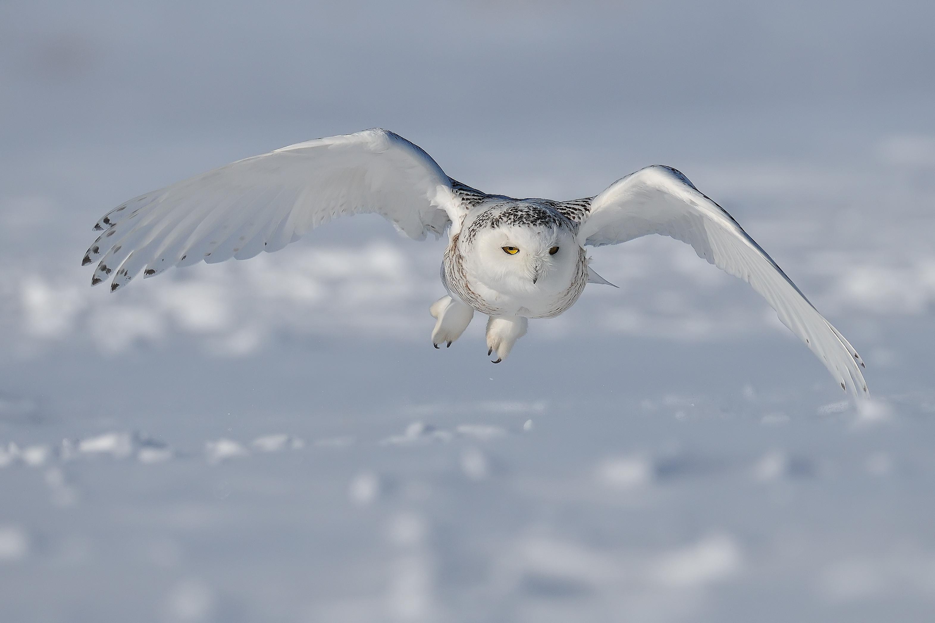 Snowy Owl – Wallpaper – 3143 X 2095 #170713 HD Wallpaper Res .