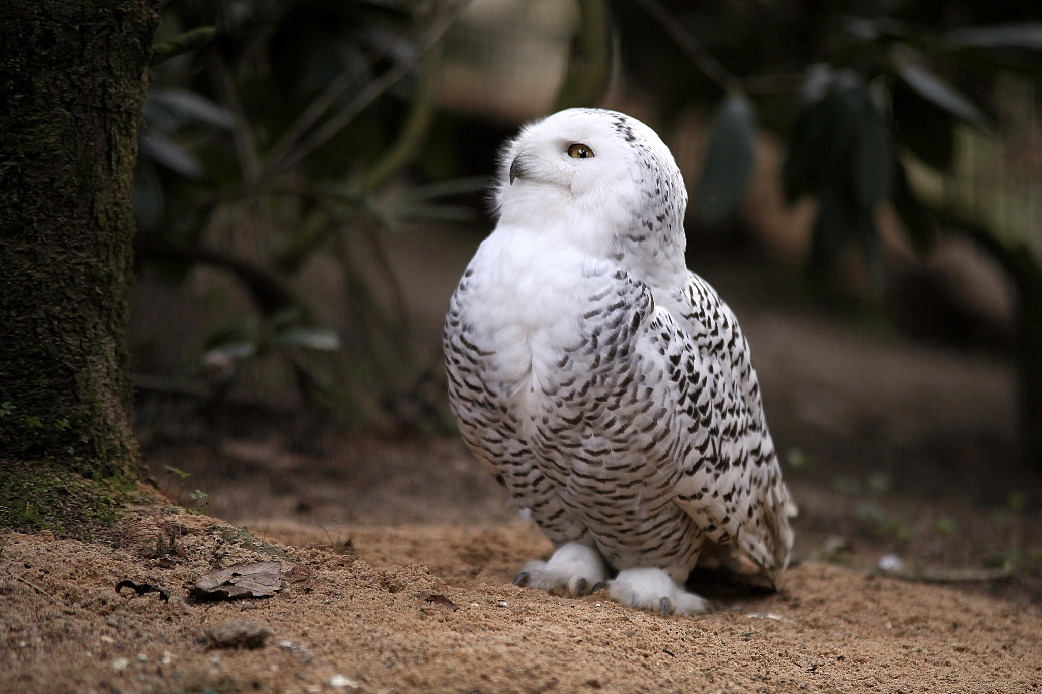… Snowy Owl (7) …