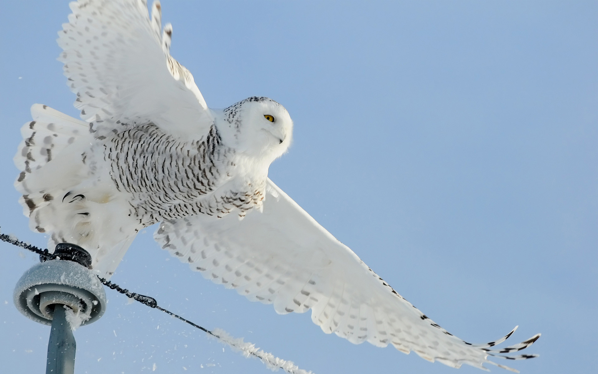 Snowy Owl Wallpapers | HD Wallpapers Early