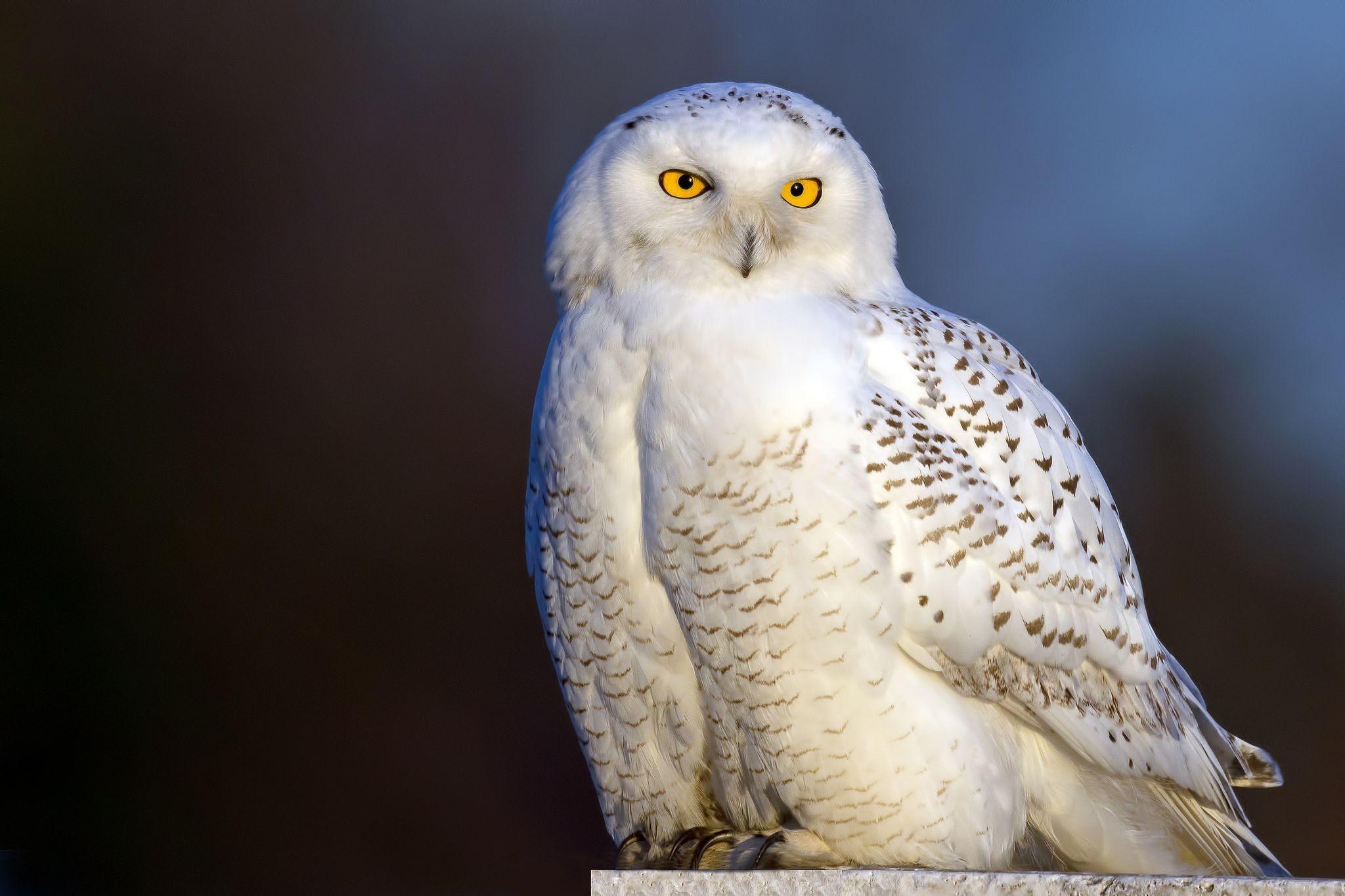 … Snowy owl animal hd 2 …