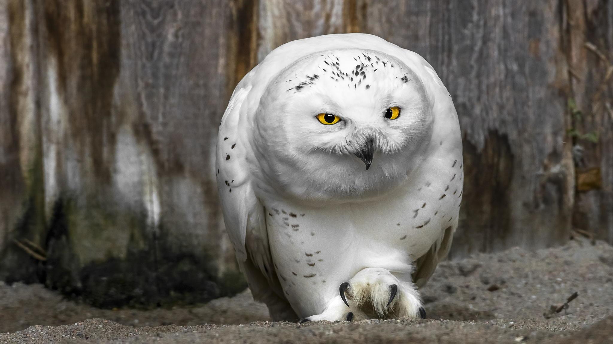 Beautiful White Owl HD Wallpaper WallpaperFX 1600×1000 White Owl Wallpapers  (42 Wallpapers)
