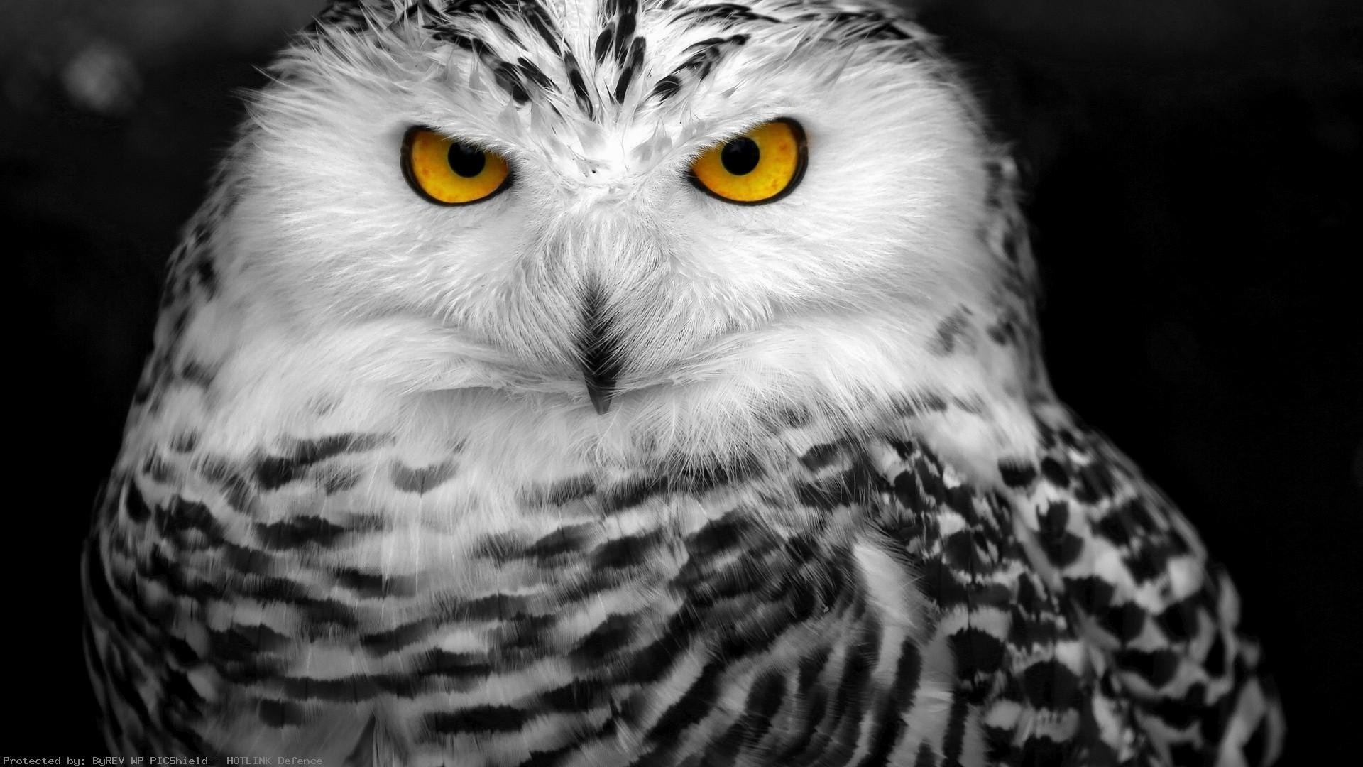 1920×1080-Snowy-Owl-HD-wallpaper-wp380947