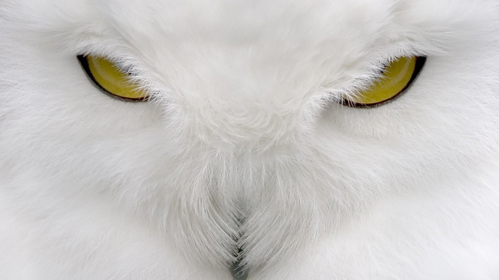 White-Owl-Wide-wallpaper-HD