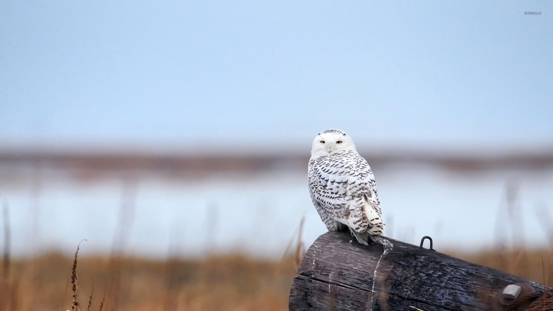 Snowy Owl [9] wallpaper