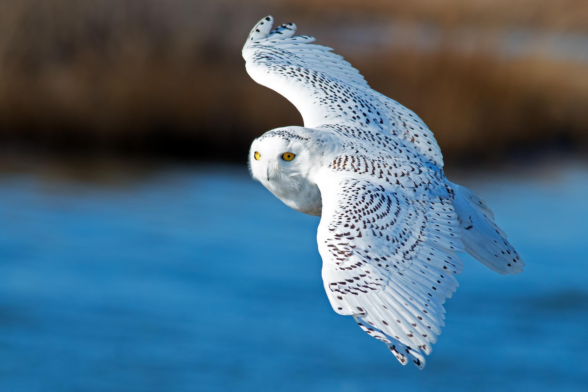 wings, White owl, flying, bird, snowy owl